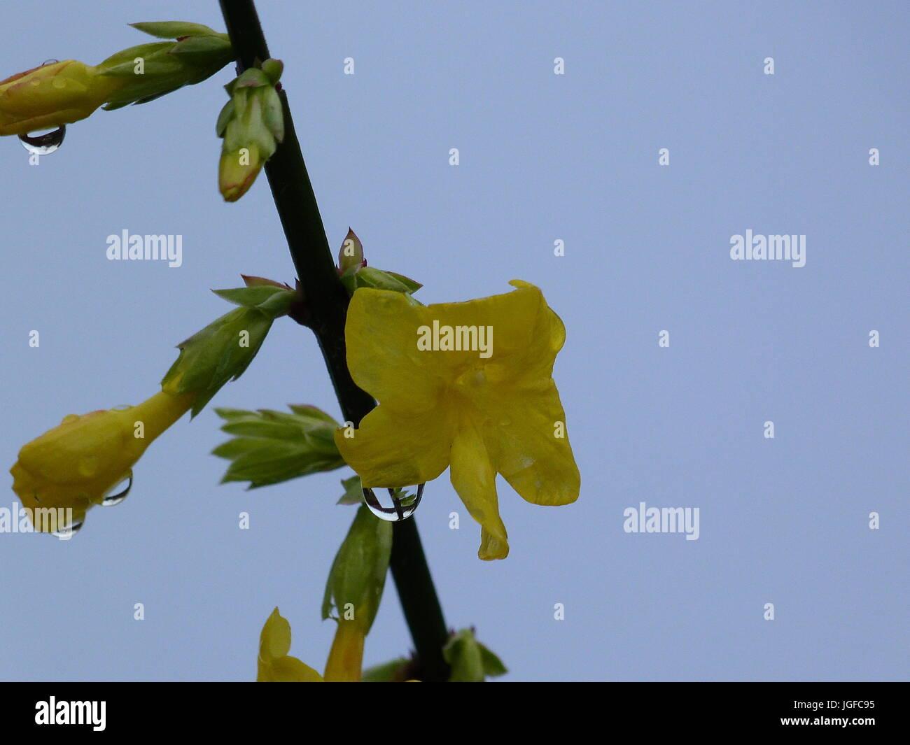 Yellow jasmine flowers stock photo 147856385 alamy yellow jasmine flowers izmirmasajfo Images