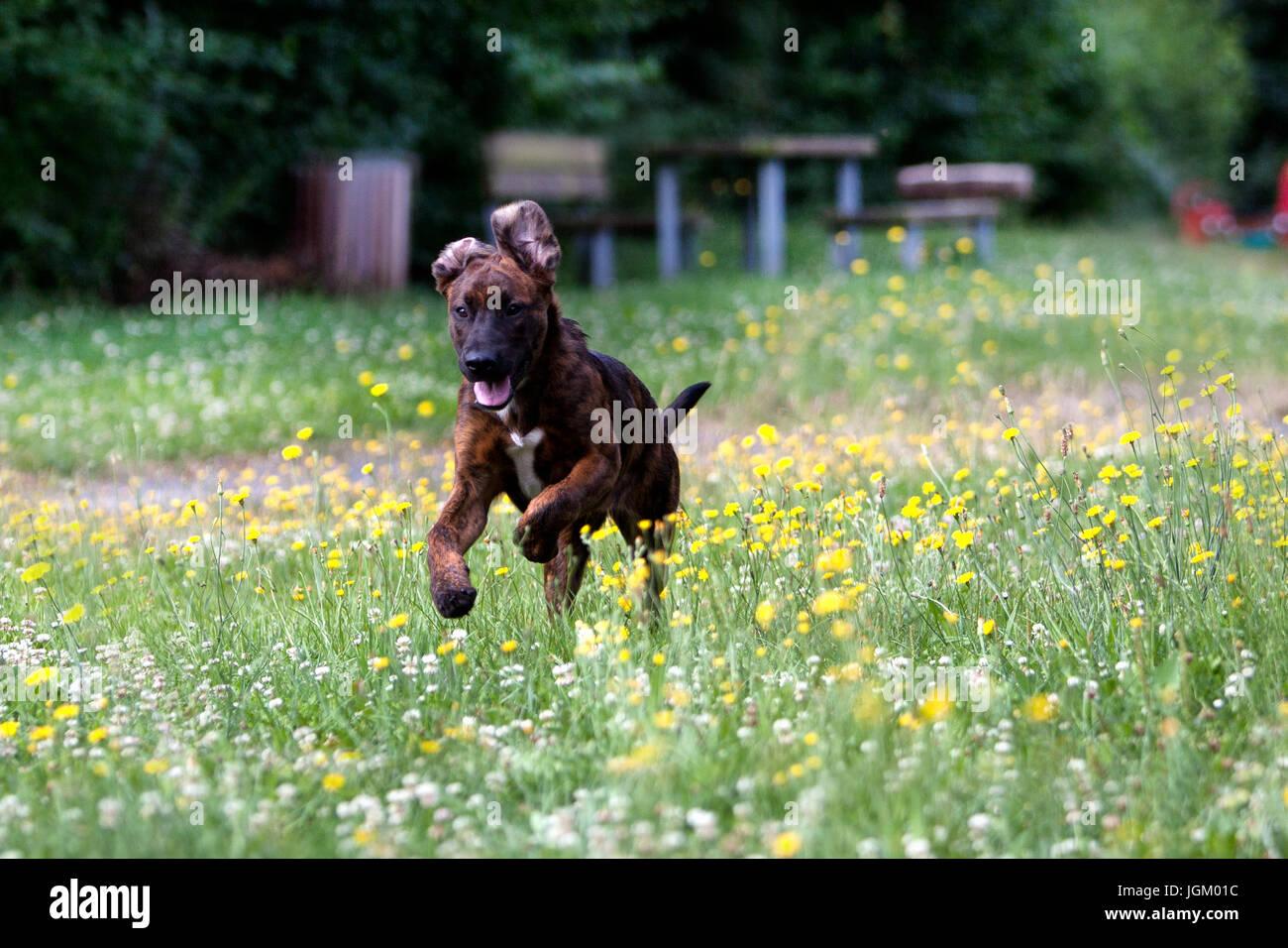 junger mischling hund