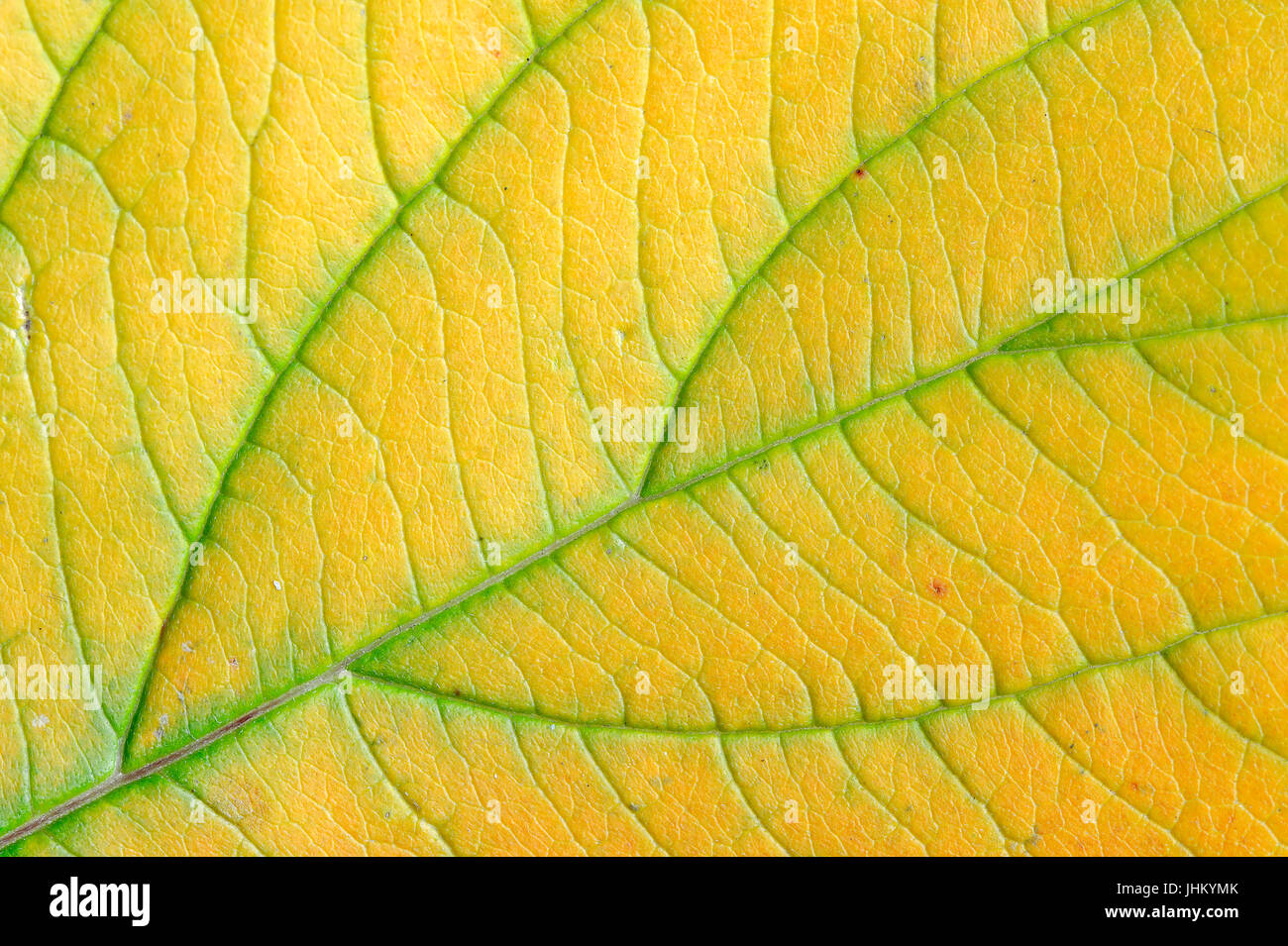 Seidiger Hartriegel osier dogwood leaf detail in autumn rhine westphalia