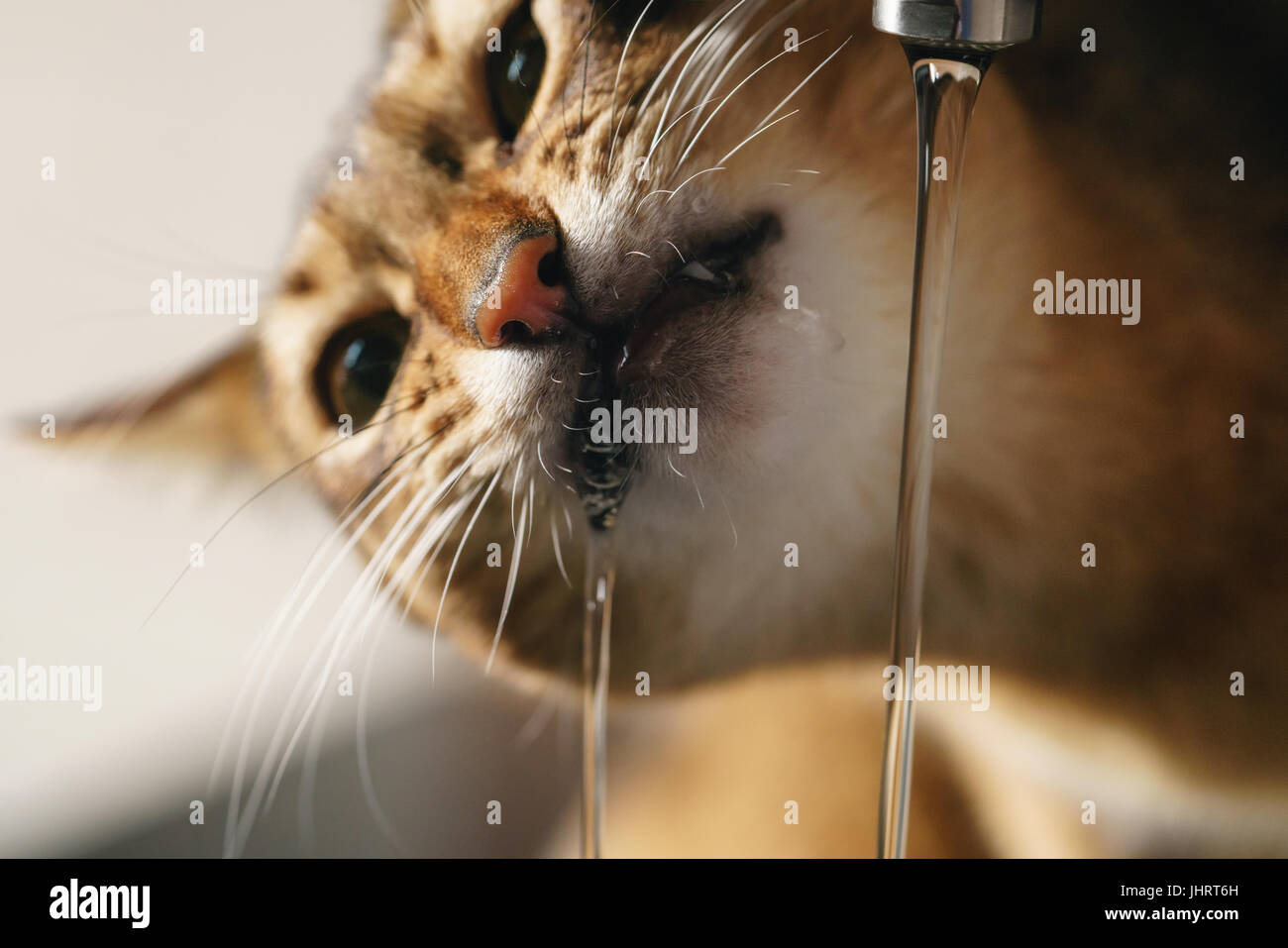 closeup shot of abyssinian cat drinking water from faucet Stock ...