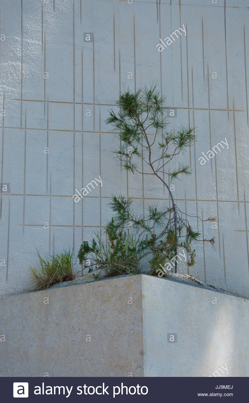 lone tree on a limestone plinth. detail of the m&g garden at rhs