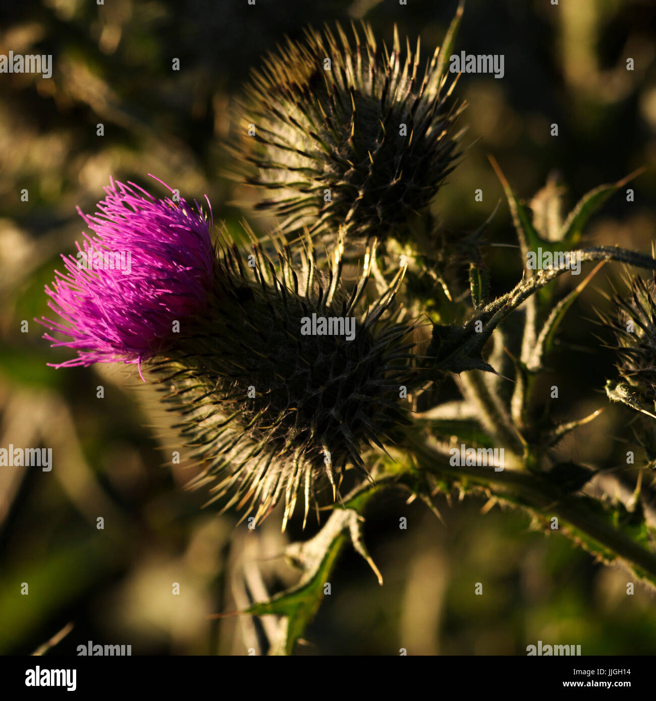Close up of a thistle the thistle is a national symbol of scotland close up of a thistle the thistle is a national symbol of scotland buycottarizona Image collections