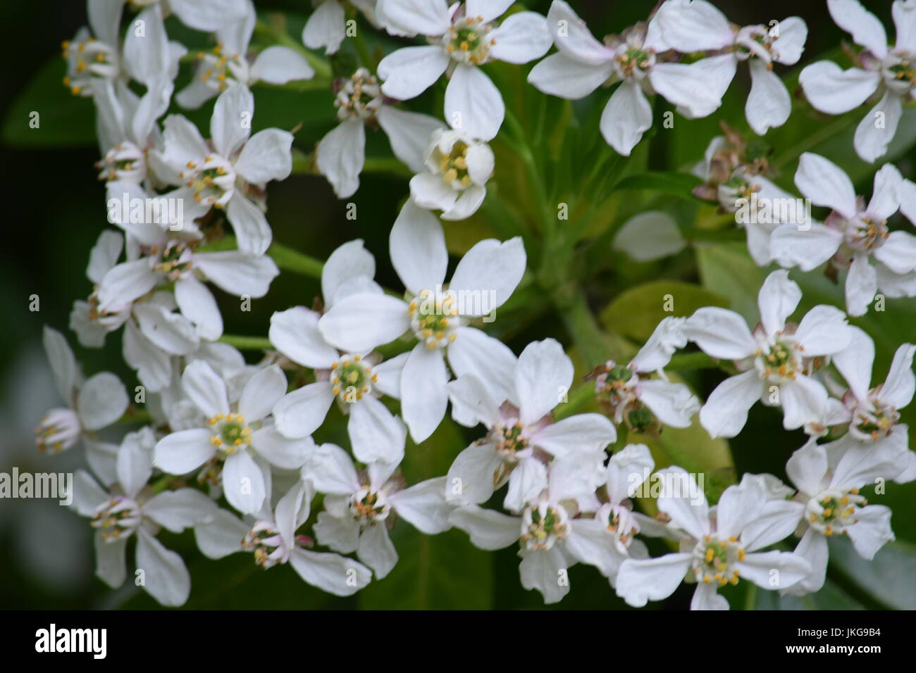 Comfortable white star flower bush contemporary images for wedding white flowered bush backgrounds stock photo 149720008 alamy mightylinksfo Images