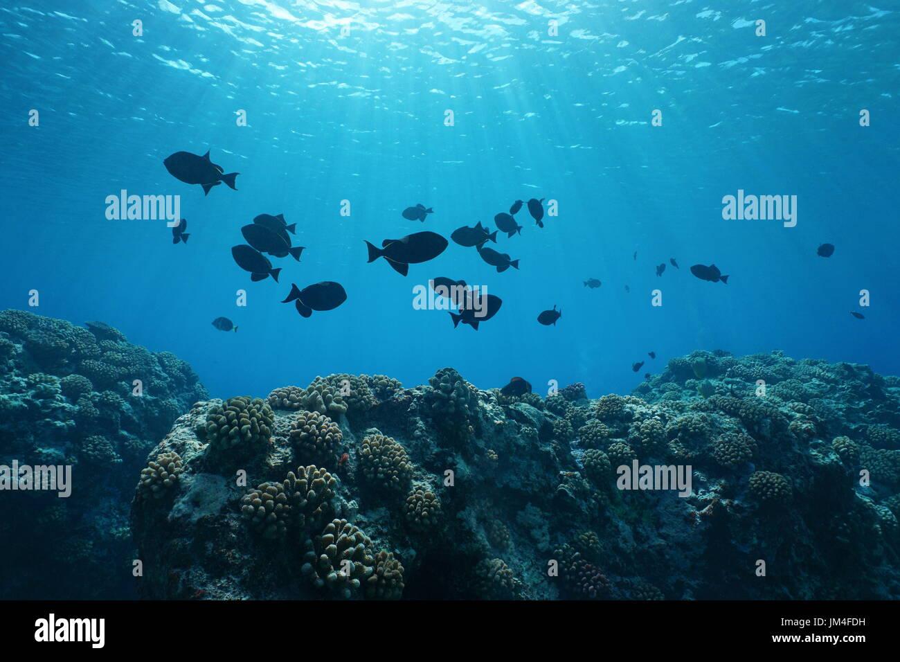 black triggerfish stock photos u0026 black triggerfish stock images
