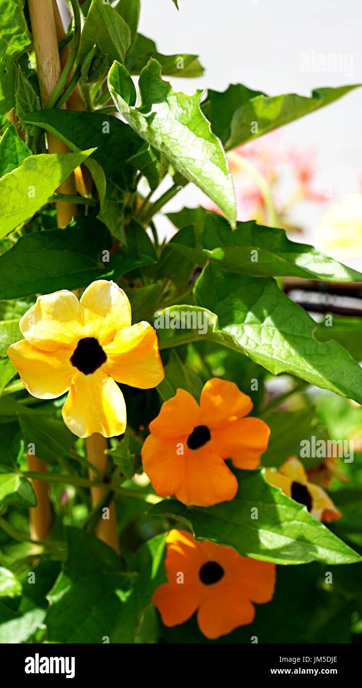 Thunbergia balata or Black - eyed Susan vine flowers in gold and ...