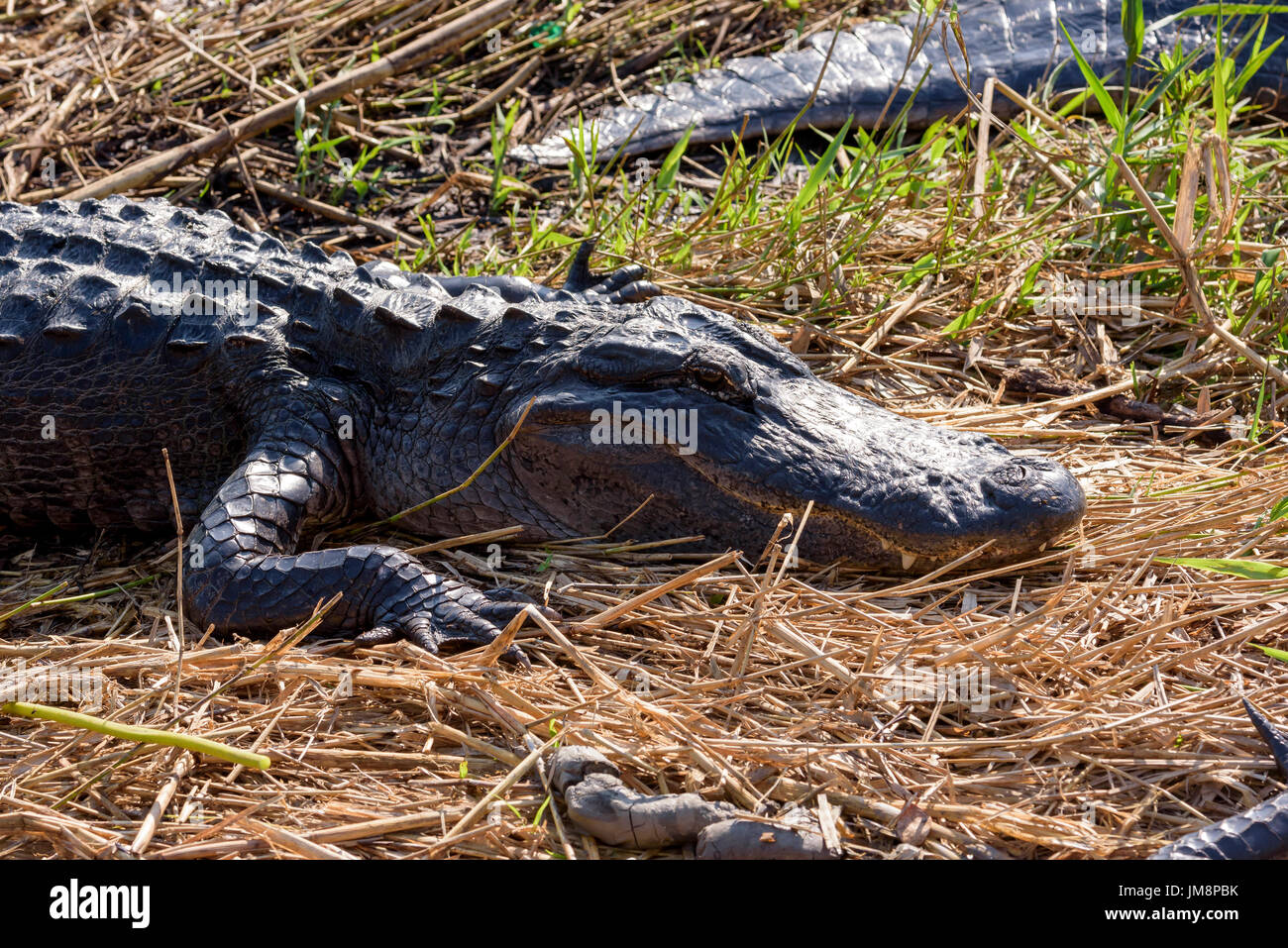 Trail Gator Stock Photos Amp Trail Gator Stock Images Alamy