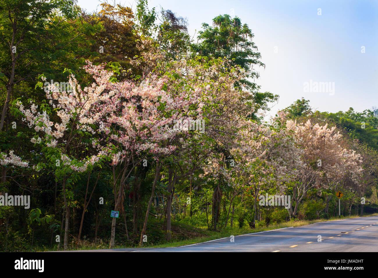 Beautiful Wild Himalayan Cherry Flower Stock Photos
