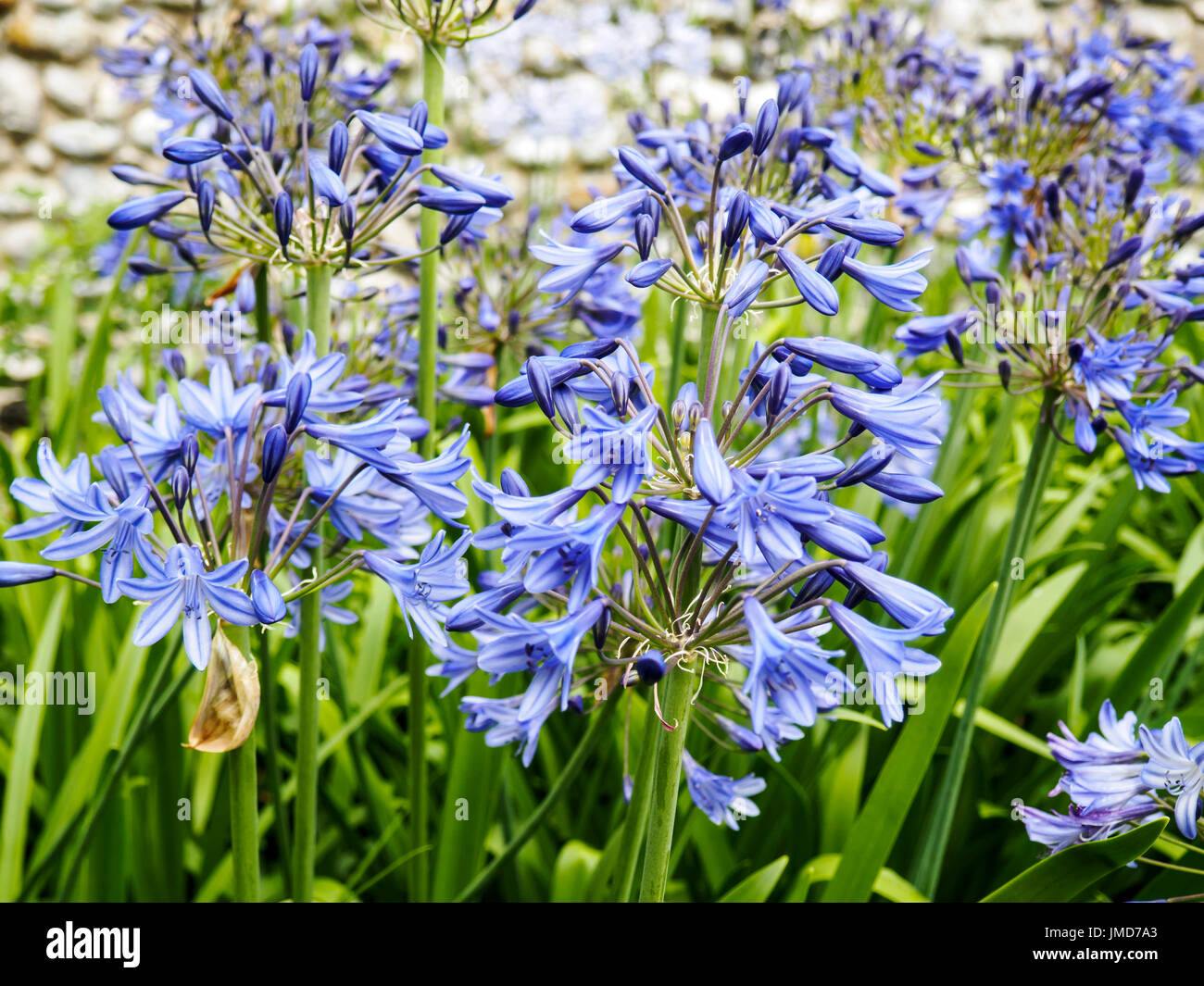 Flowers Of A Blue Agapathus African Lily Plant Of Unknown Variety