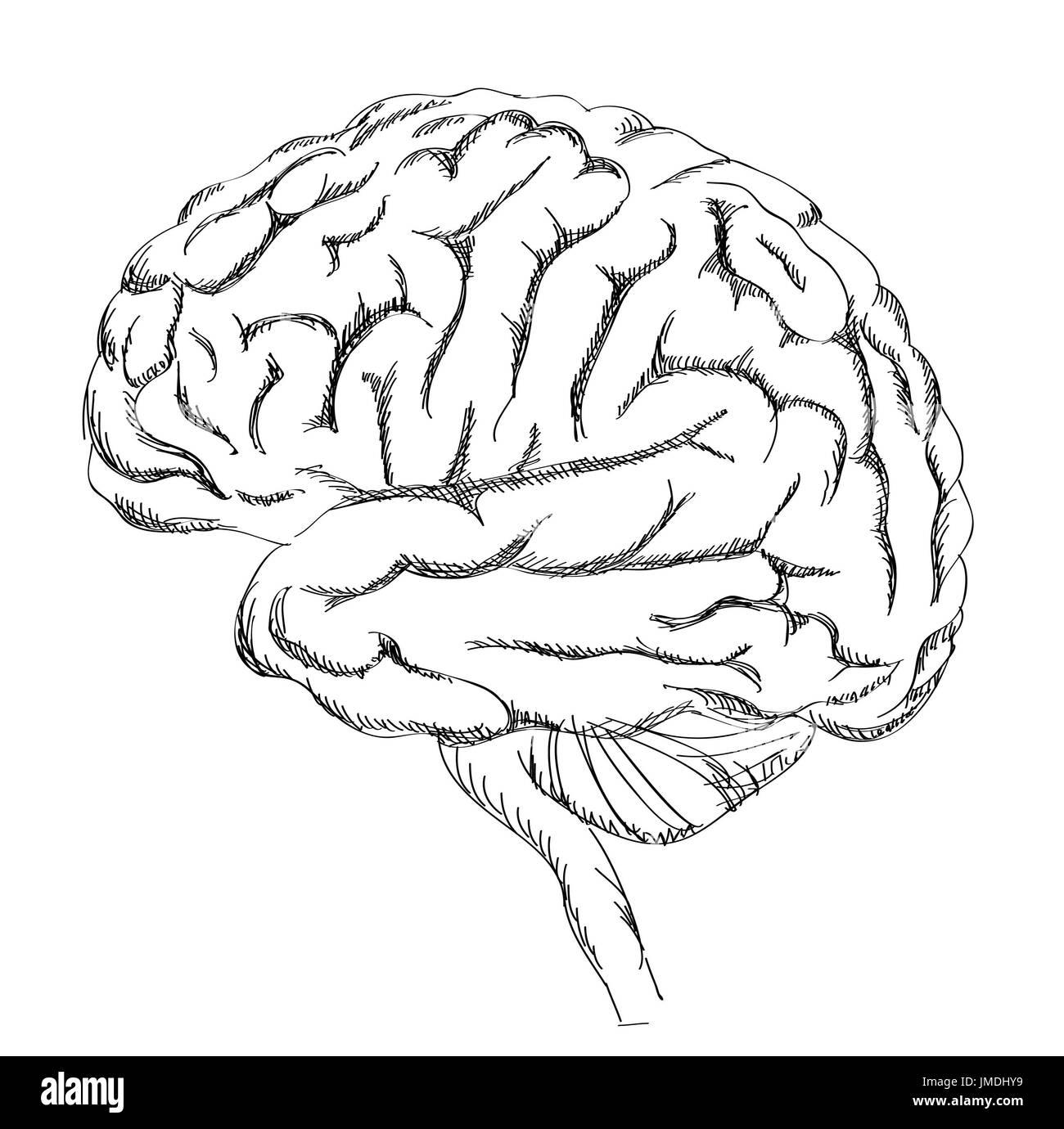 Brain Anatomy Human Brain Lateral View Sketch Illustration
