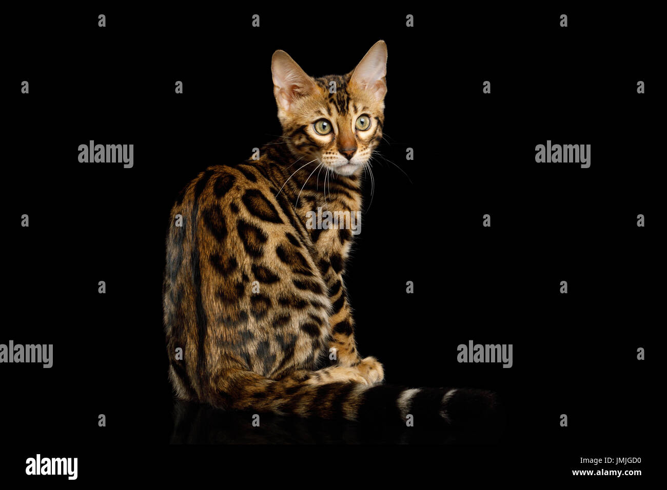 Seven Things About Bengal Kitten Jersey Channel Islands You Have ...