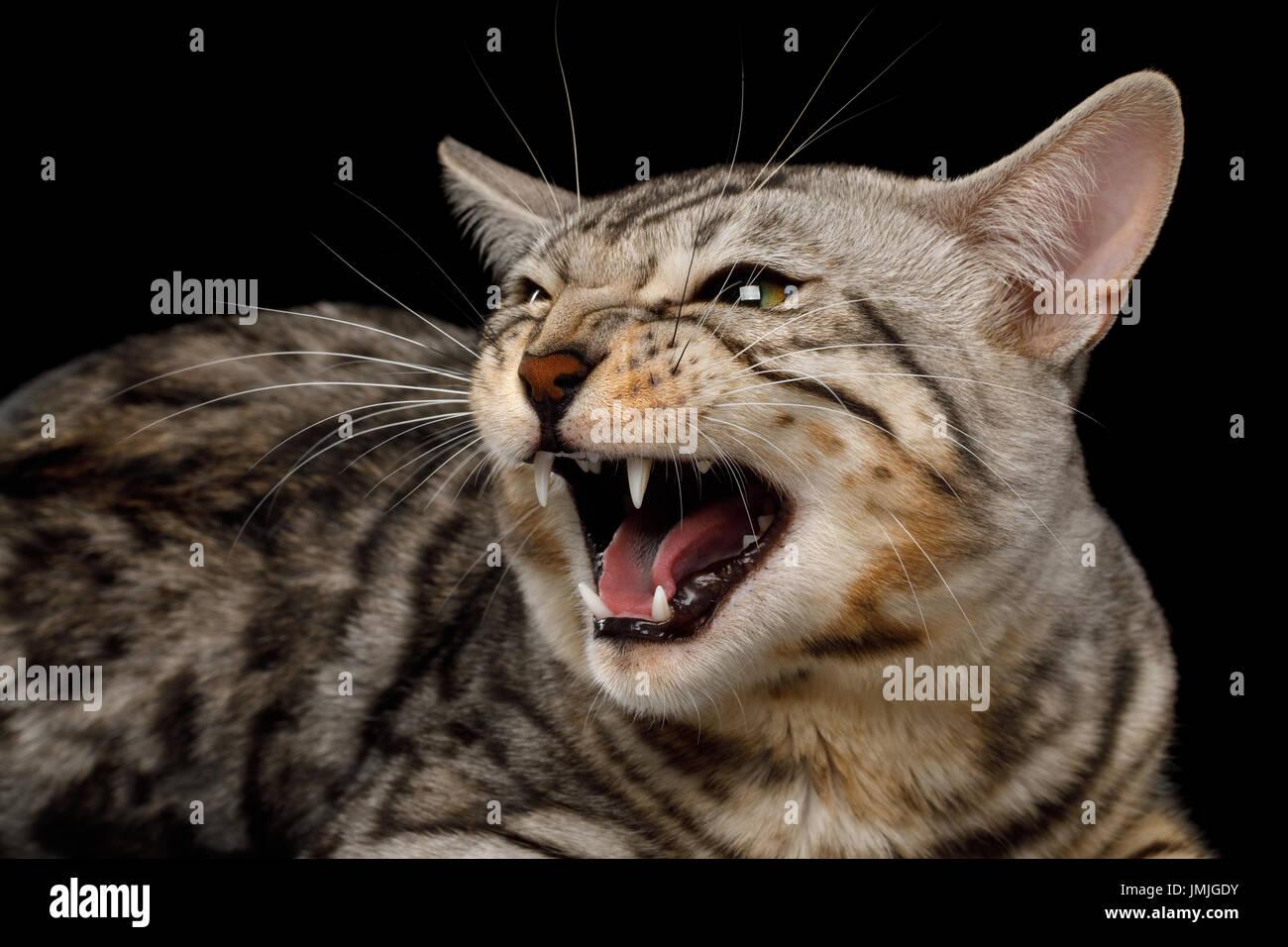 Bengal Cat Snow Bengal Stock s & Bengal Cat Snow Bengal Stock