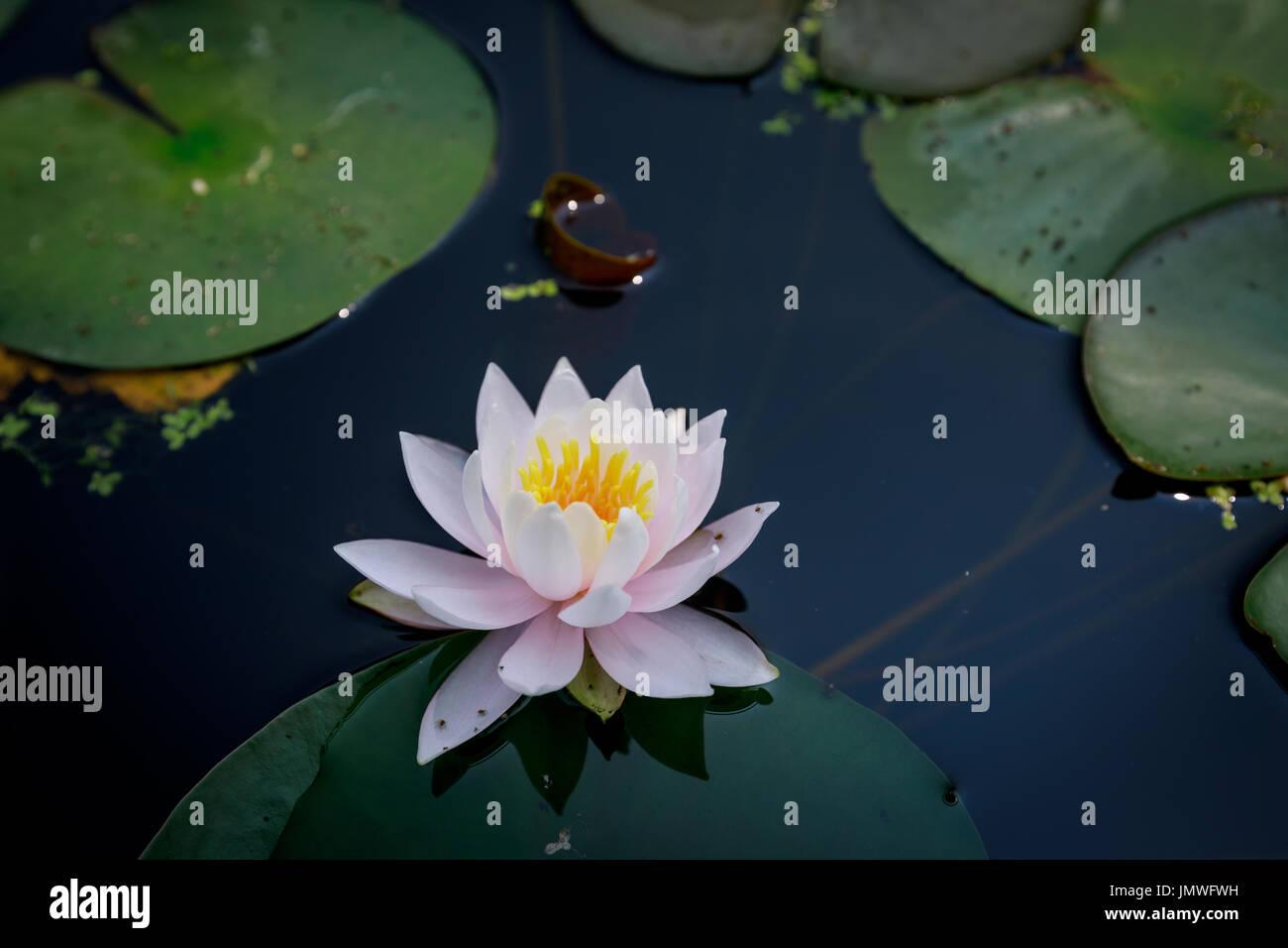 Beautiful Lotus Flower In Pond At Summer Season Stock Photo