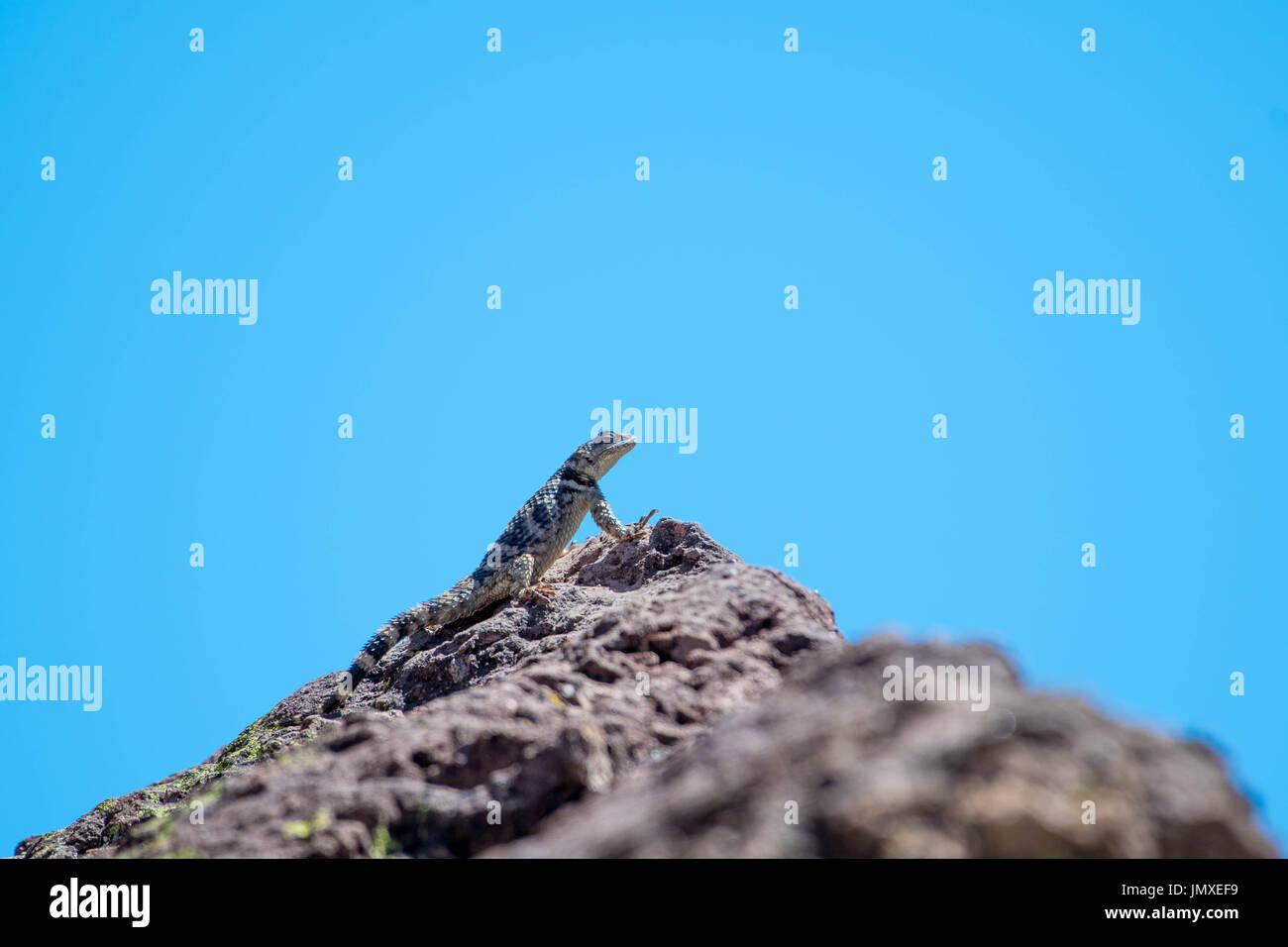 New mexico socorro county magdalena - New Mexico Crevice Spiny Lizard Sceloporus Poinsettii Poinsettii Magdalena Mountains Socorro
