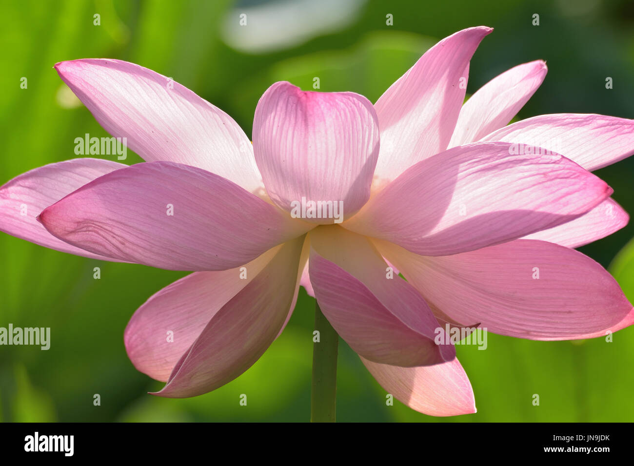 Macro Texture Of Japanese Pink Lotus Flower With Sunshine In Stock
