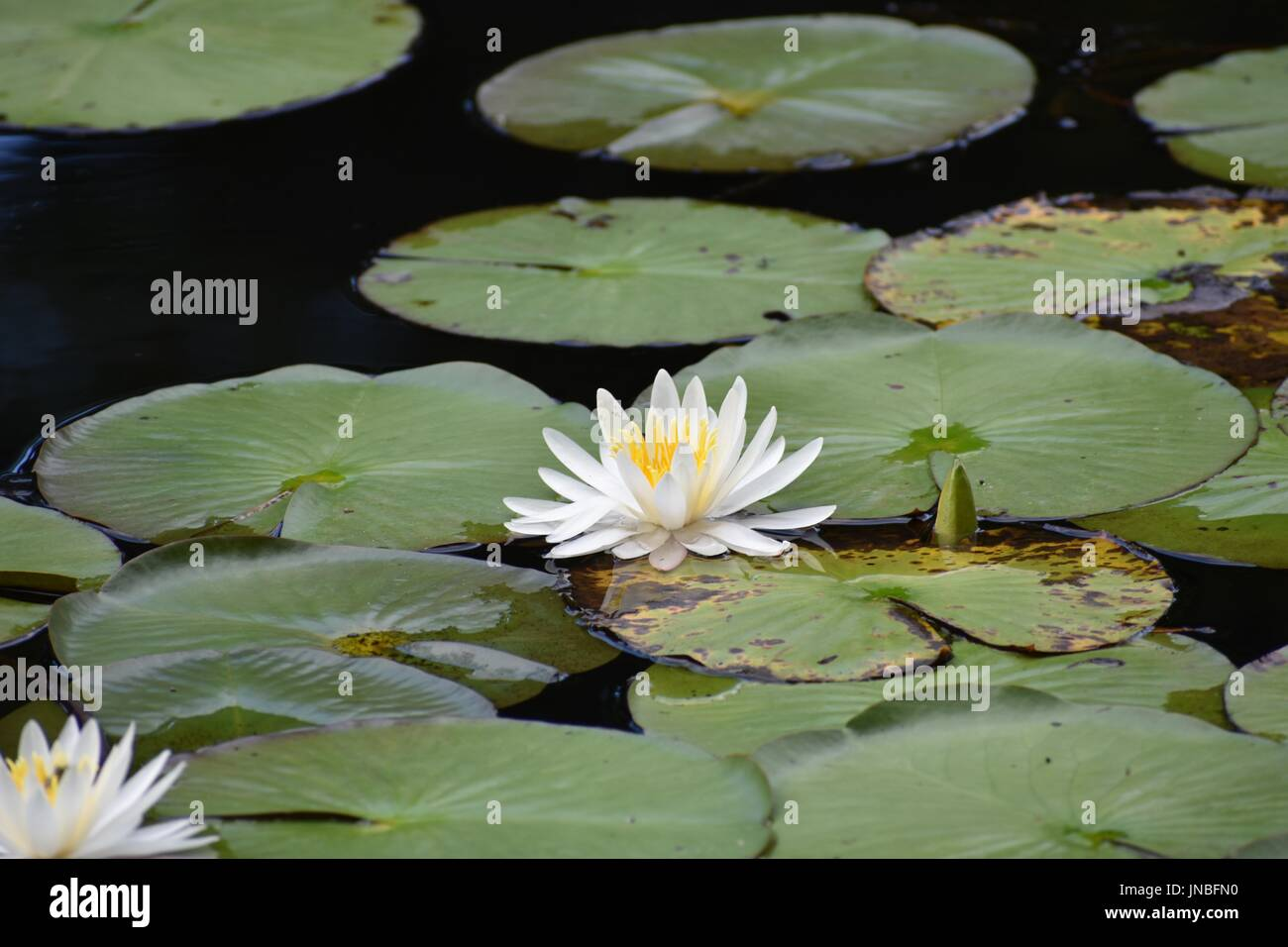 White Lily Flower On A Garden Pond With Lily Pads Plants And White