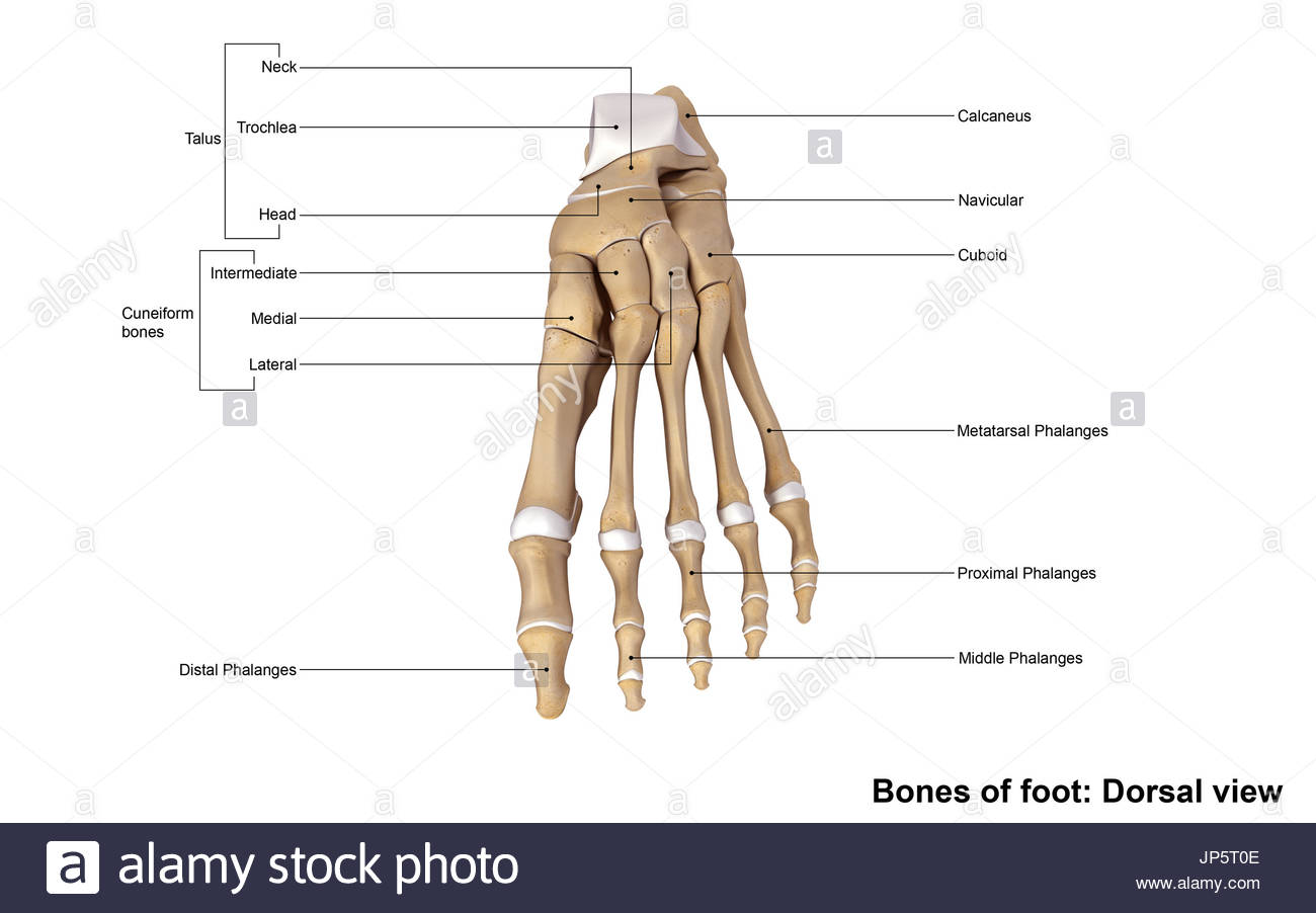 Human Foot And Ankle Bones Stock Photo 151333966 Alamy