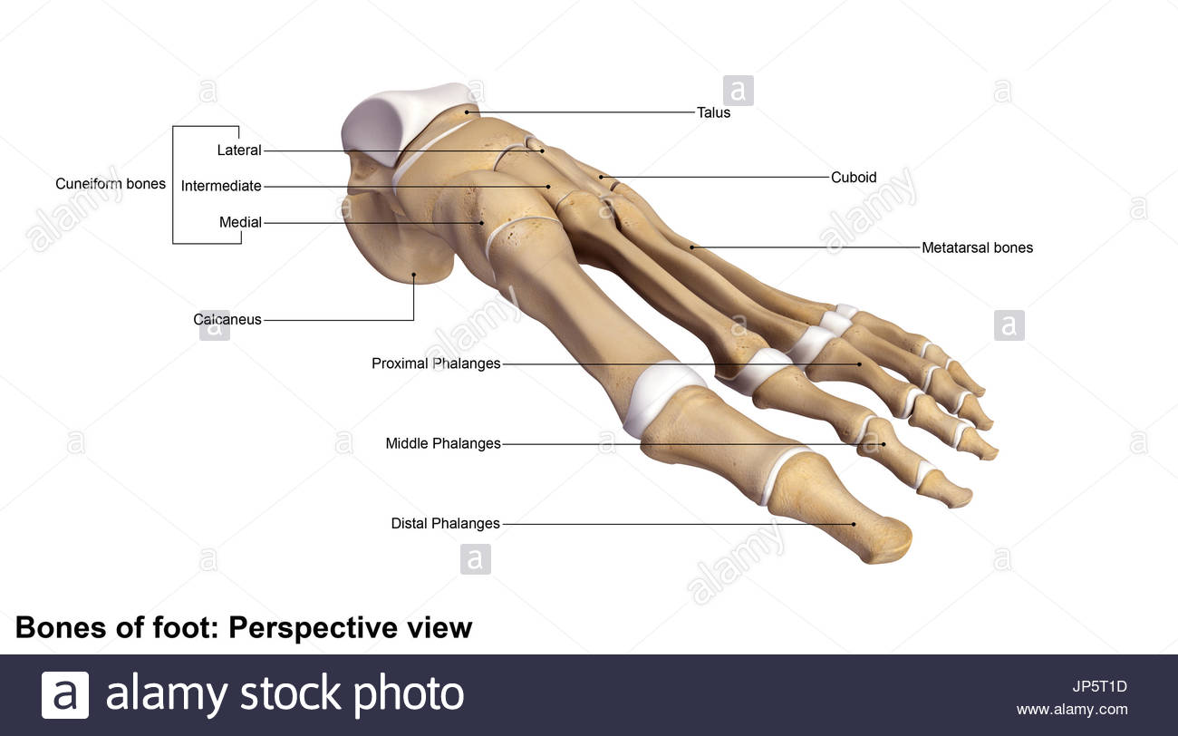 Human Foot And Ankle Bones Stock Photo 151333993 Alamy