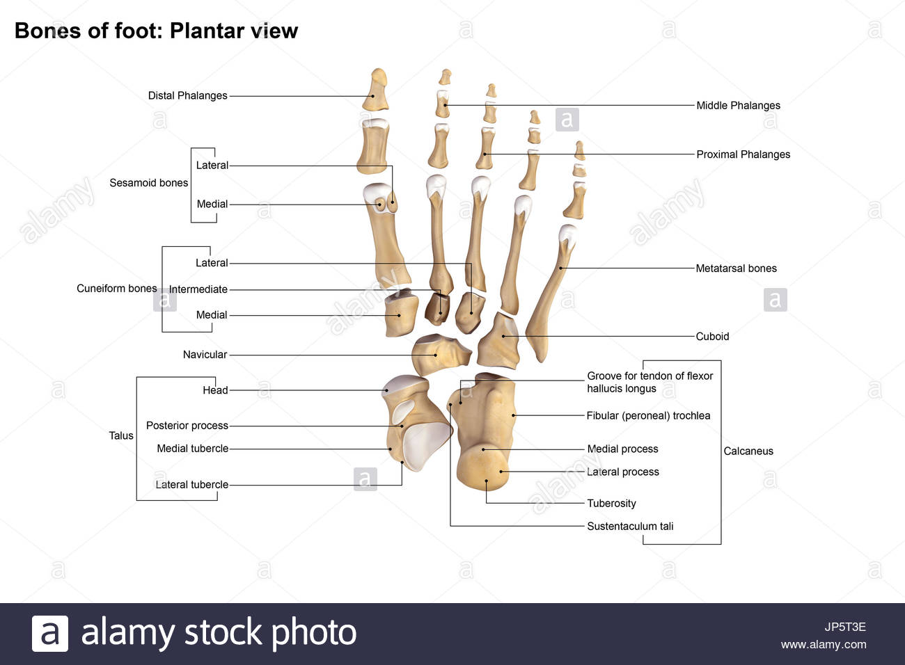 Human foot and ankle bones stock photo royalty free image human foot and ankle bones pooptronica