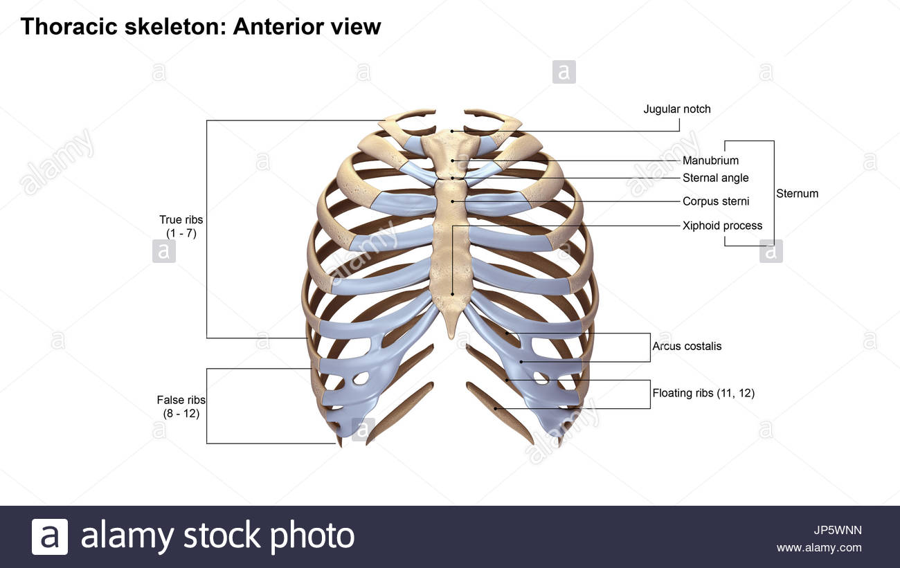 Floating ribs anatomy