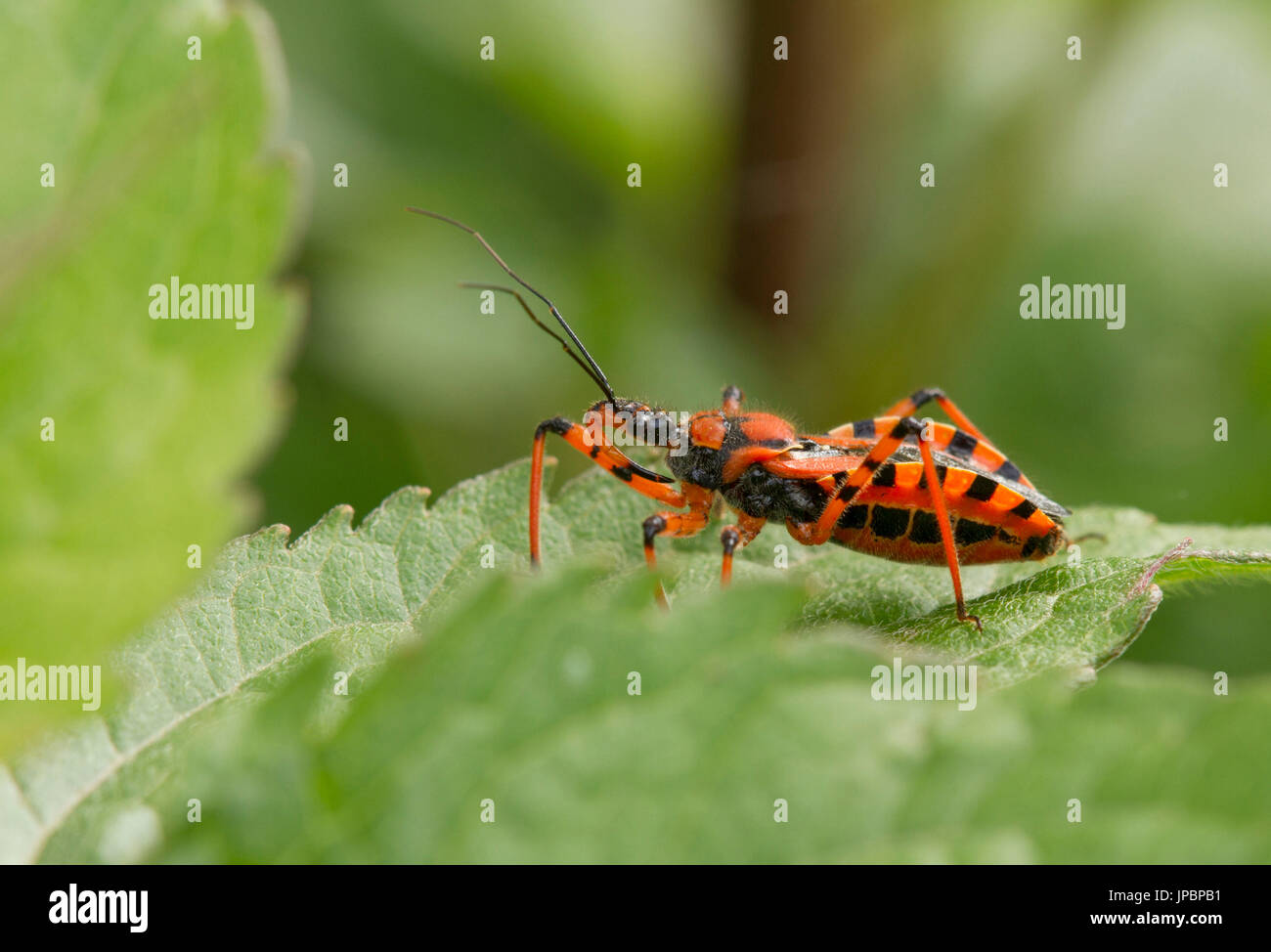 The close up of assassin bug insect red and black or Rhynocoris iracundus   Lombardy  Italy. The close up of assassin bug insect red and black or Rhynocoris