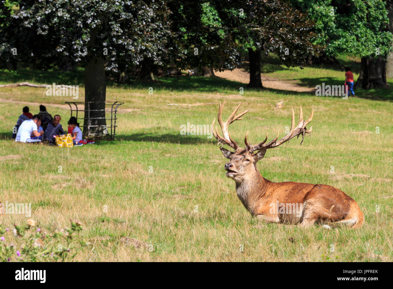 Red Deer Grazing In Richmond Stock Photos Red Deer Grazing In Richmond Stock Images Alamy