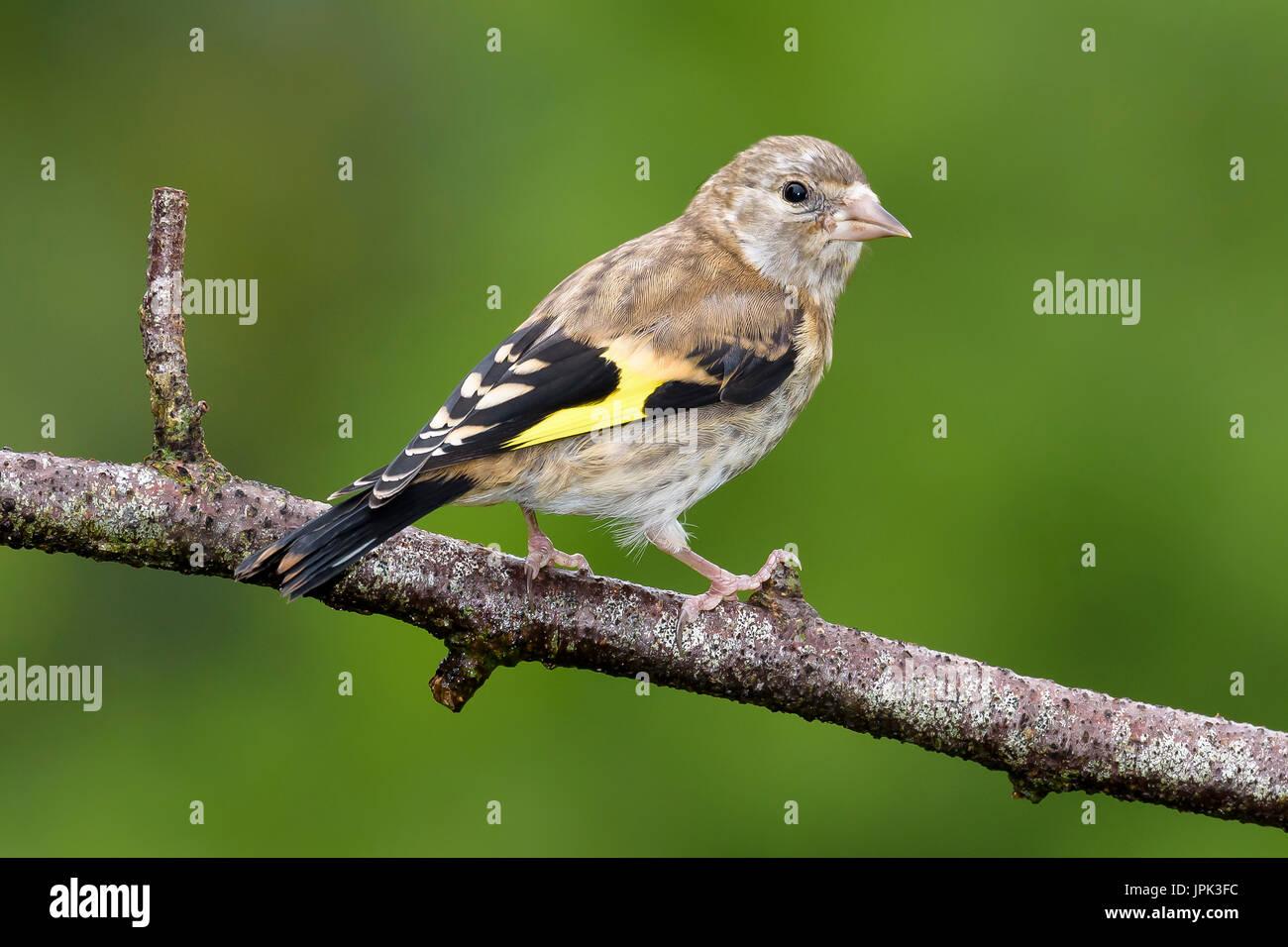 juvenile european goldfinch stock photos u0026 juvenile european