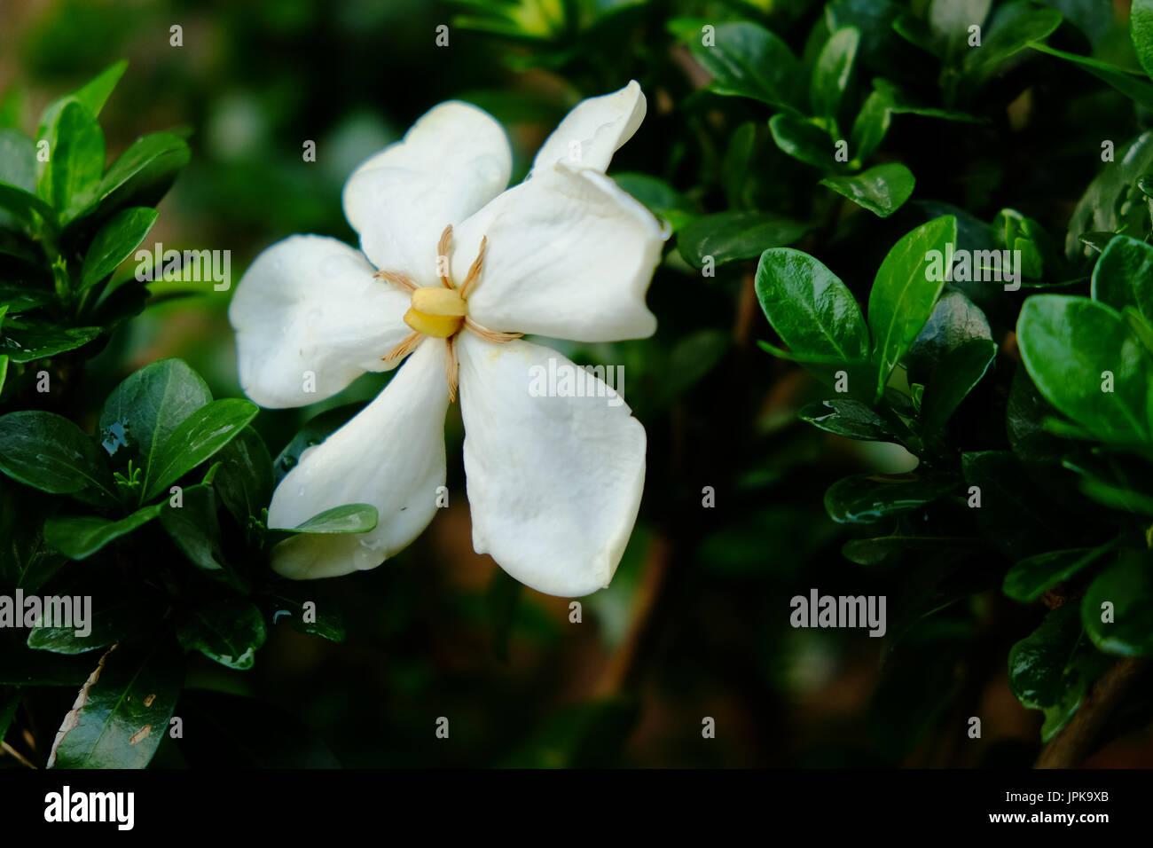 A Single White Gardenia Flower In Full Bloom Set Against The Dark