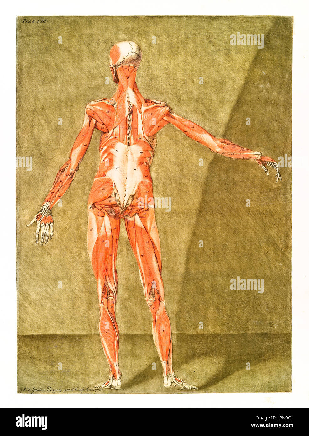 Human anatomy. Muscles and bones. By A.E. Gautier D\'Agoty in Cours ...