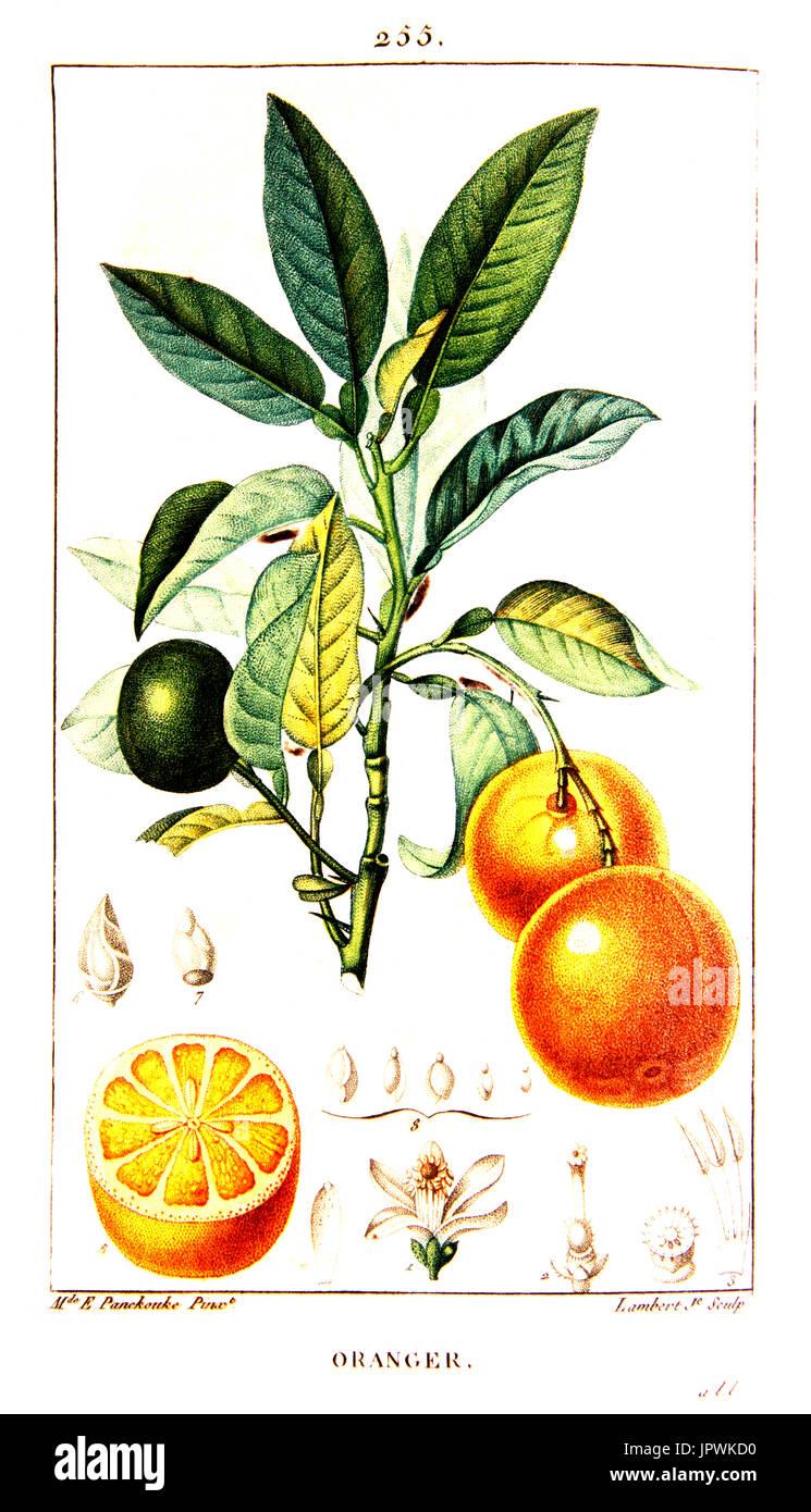 Sour Orange Tree Stock Photos & Sour Orange Tree Stock ...