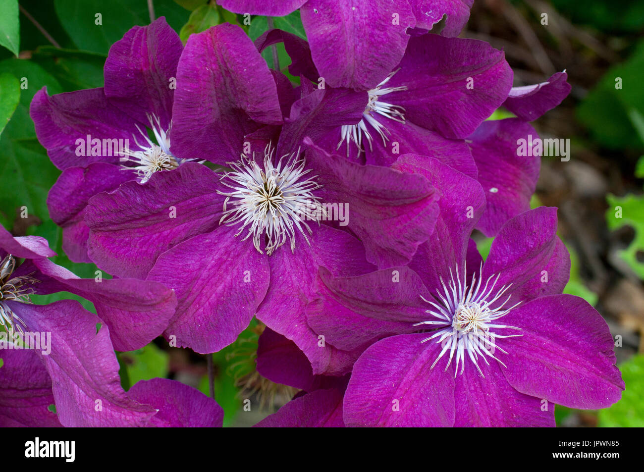 clematis rouge cardinal stock photos clematis rouge. Black Bedroom Furniture Sets. Home Design Ideas