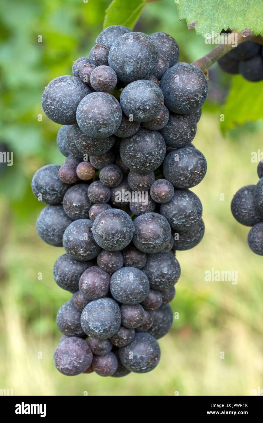 Bordeaux mixture stock photos bordeaux mixture stock images alamy - Bordeaux mixture ...