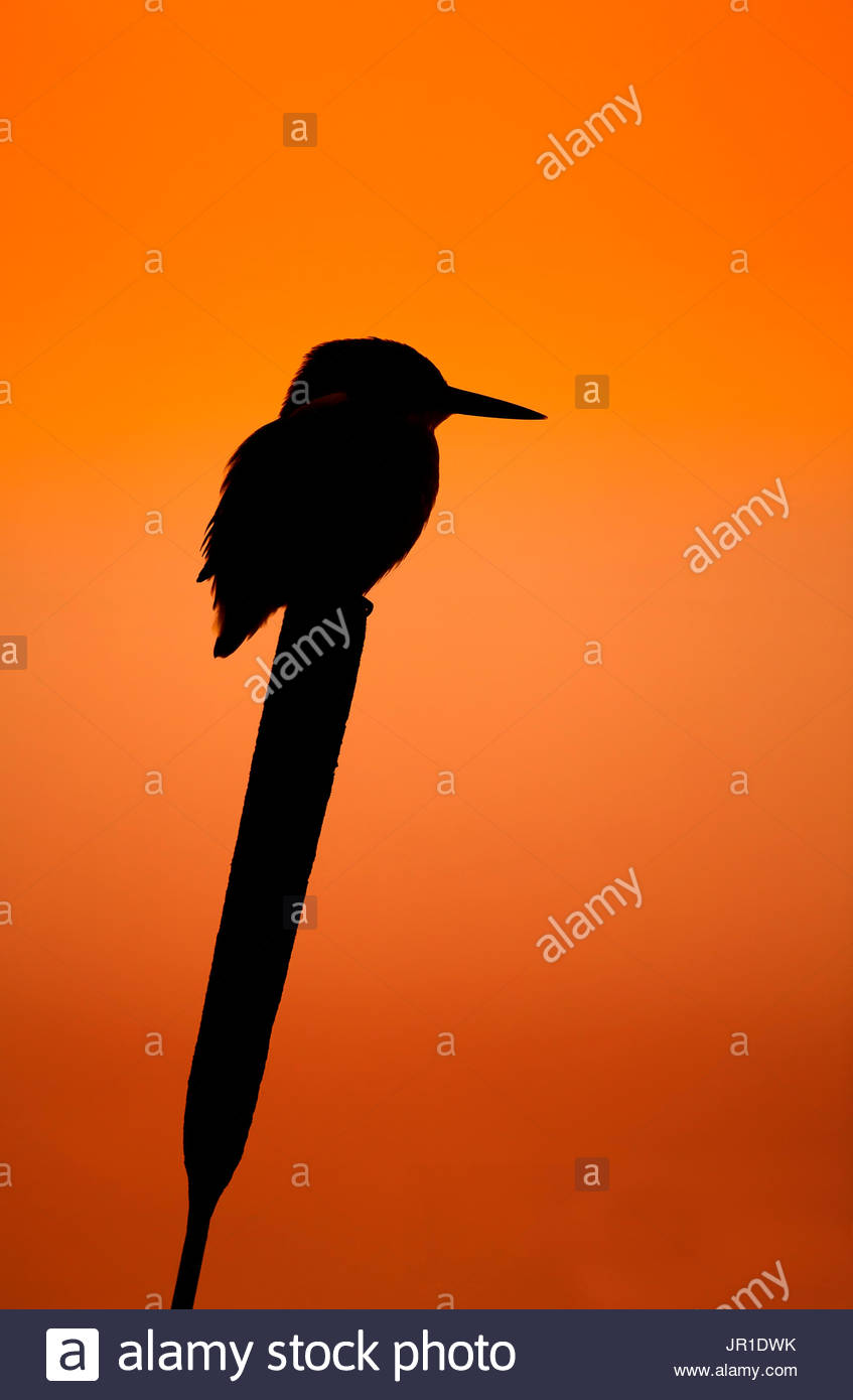 kingfisher alcedo atthis silhouette on reedmace at sunrise uk