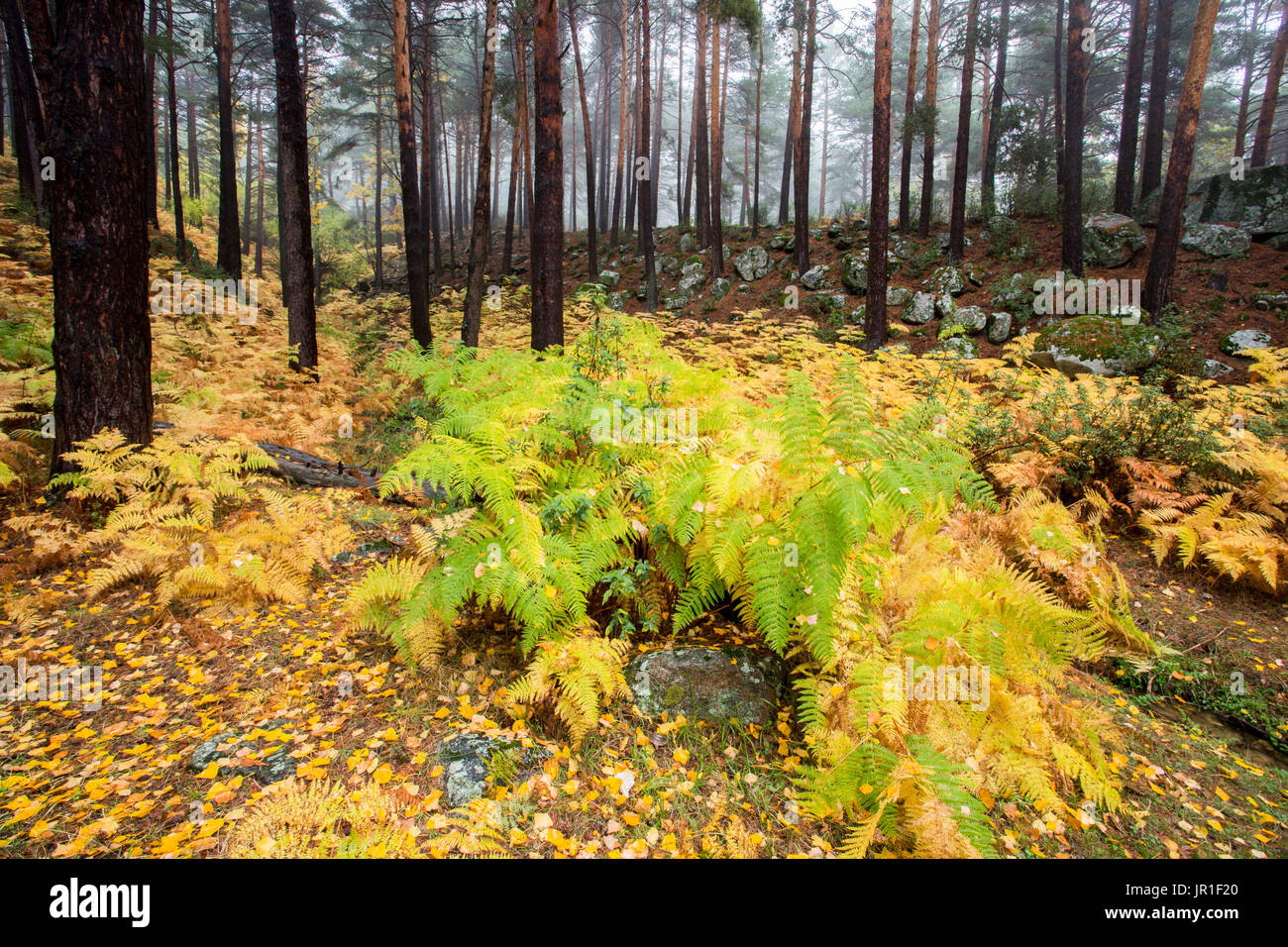 Ferns in pine forest in autumn canencia madrid spain - Madrid forest ...