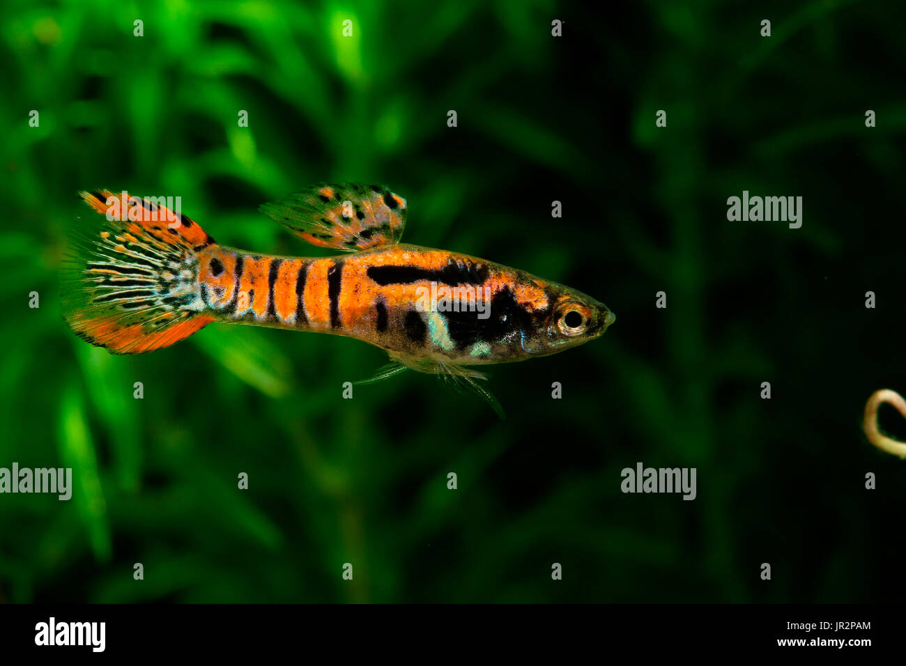 Endler 39 s guppy poecilia wingei male 39 tiger red 39 stock for Endler guppy
