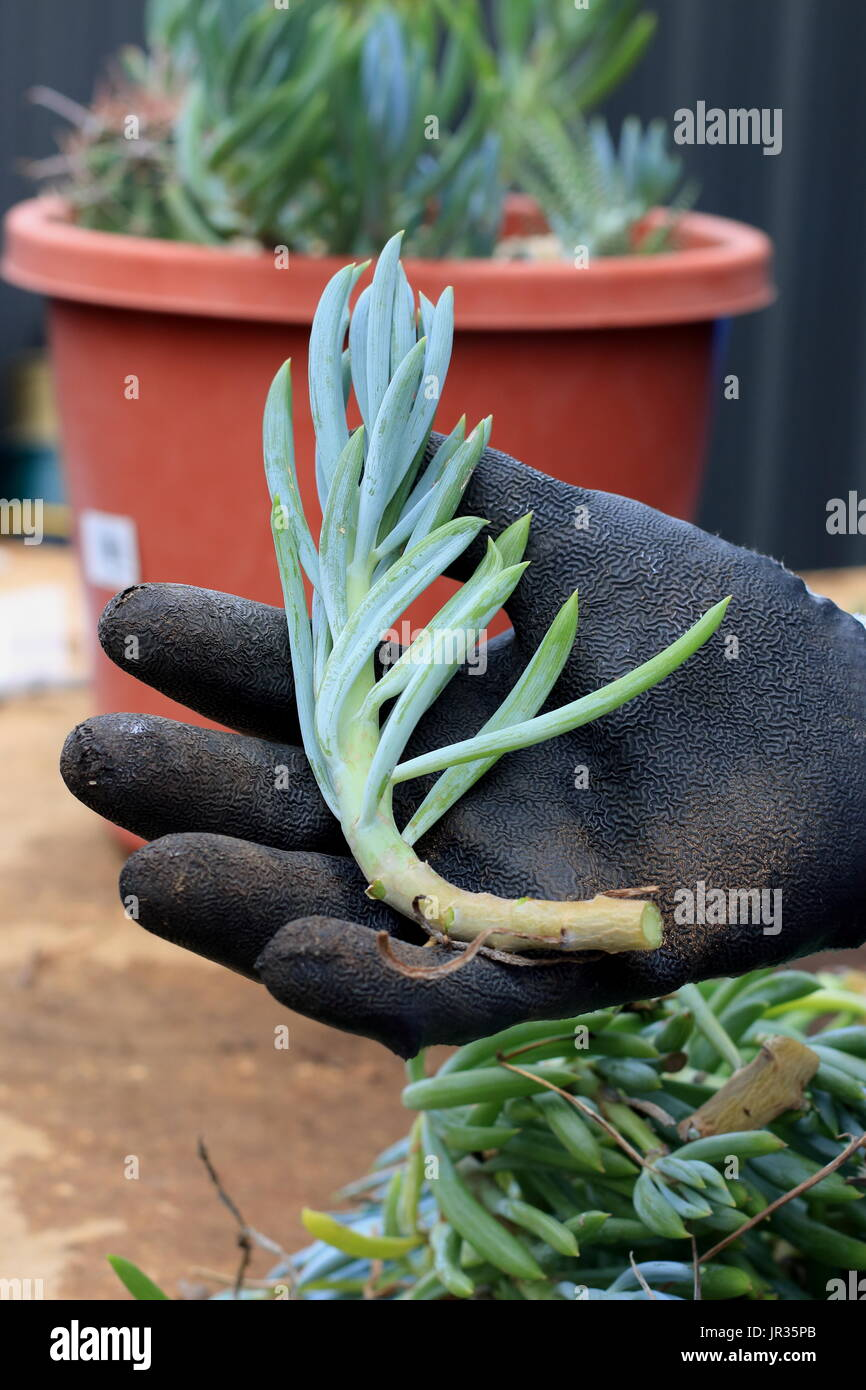 Blue chalk sticks plant - Blue Chalk Sticks Succulent Or Known As Senecio Mandraliscae Blue Finger Succulent Stock Image