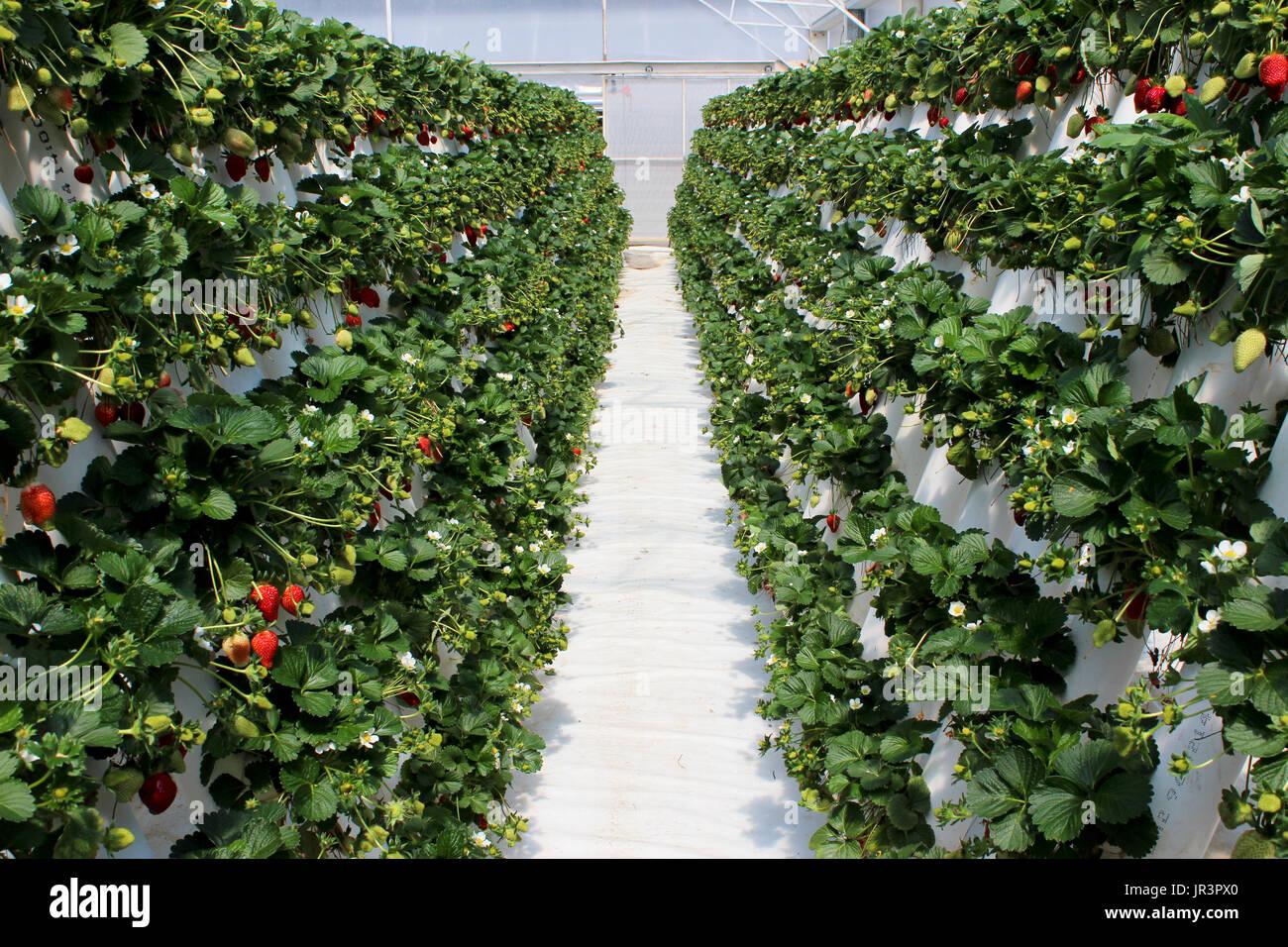 how to grow strawberries indoors lighting