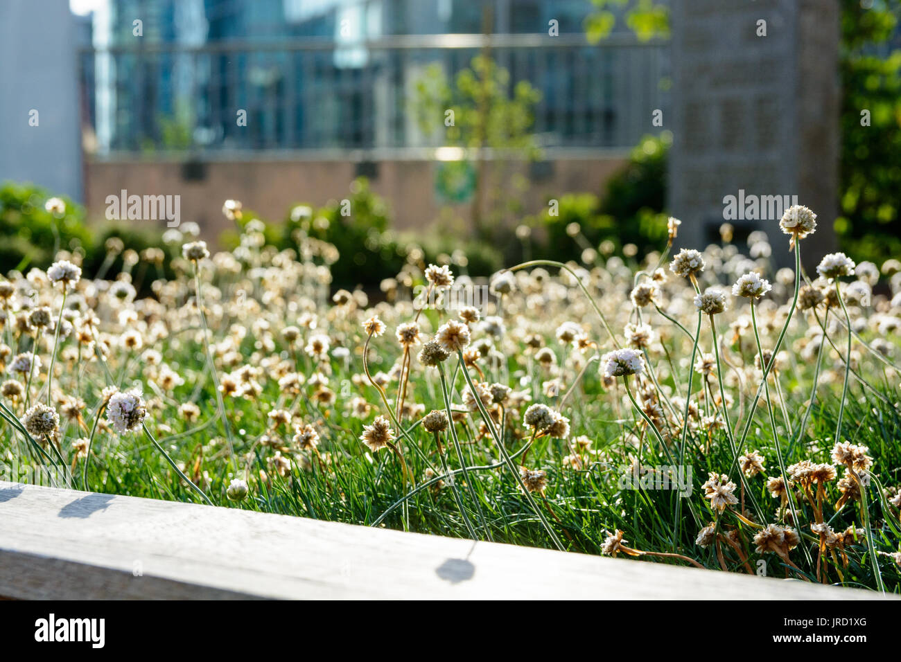 Backlighted Little White Flowers And Grass At Sunset In An Urban