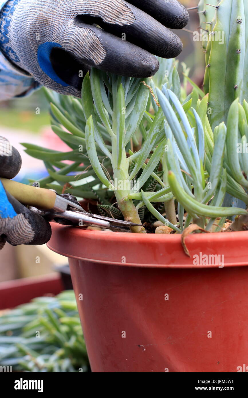 Blue chalk sticks plant - Stock Photo Taking Cuttings From Blue Chalk Sticks Succulent Or Known As Senecio Mandraliscae Blue Finger Succulent