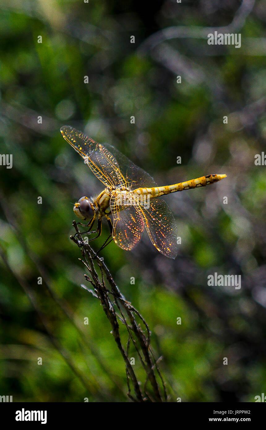 a-variegated-meadowhawk-near-mount-lassen-california-JRPPW2.jpg