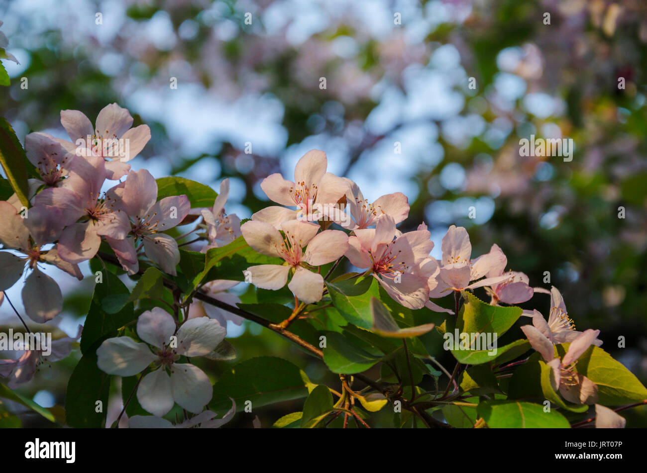 Blooming Delicate Pink Flowers A Branch Of Fruit Trees On A Blue