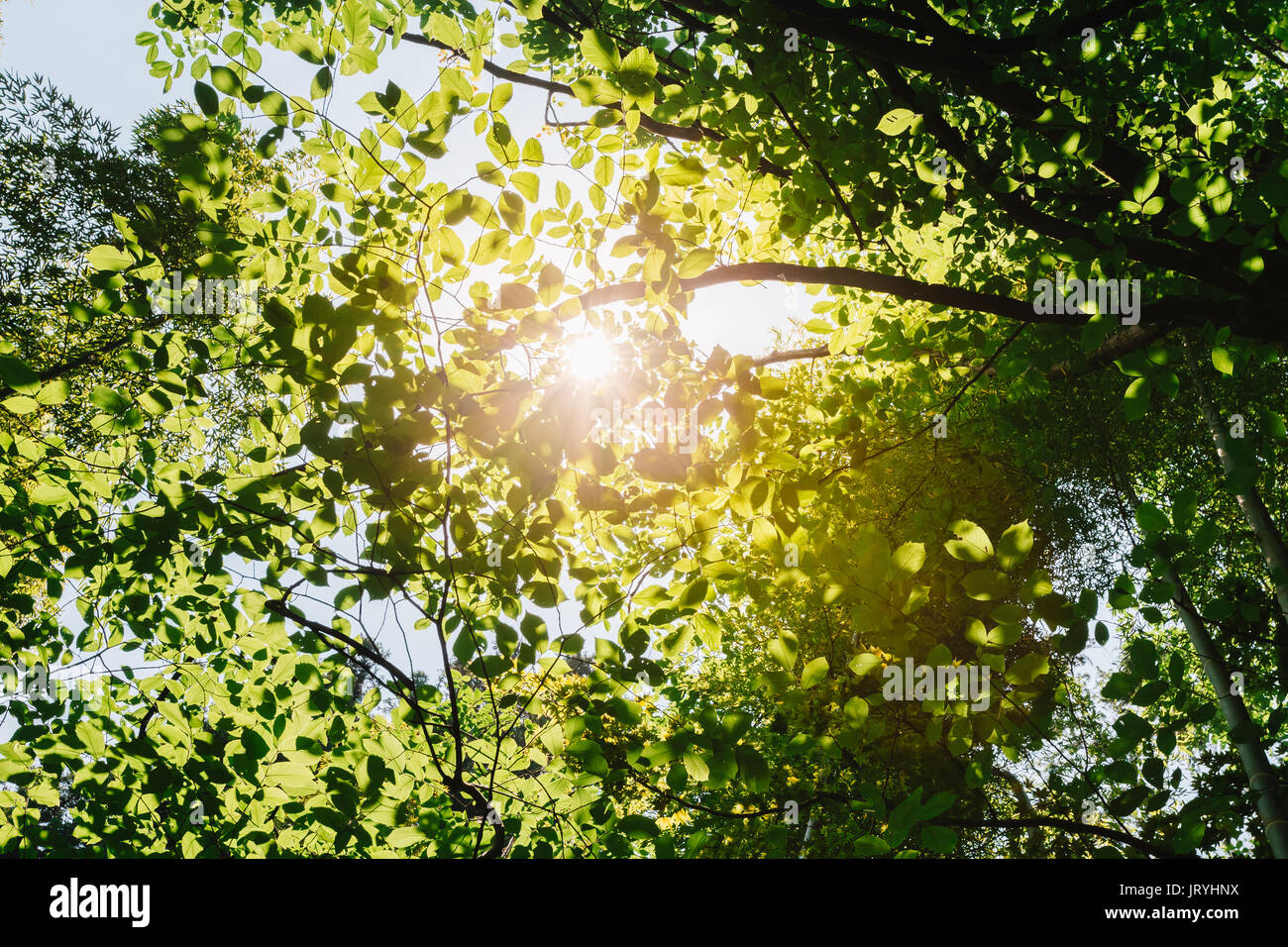 Sun Shining Through Canopy Of Tall Trees. Sunlight In Tropical Forest Summer Nature. Upper Branches Of Different Deciduous Trees Summer Background & Sun Shining Through Canopy Of Tall Trees. Sunlight In Tropical ...
