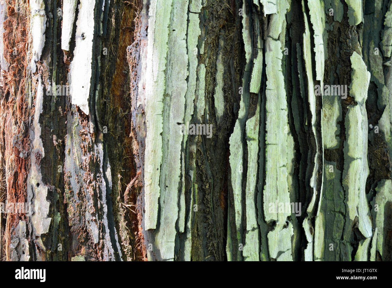 The bark of a young coastal redwood, Sequoia sempervirens, featuring ...