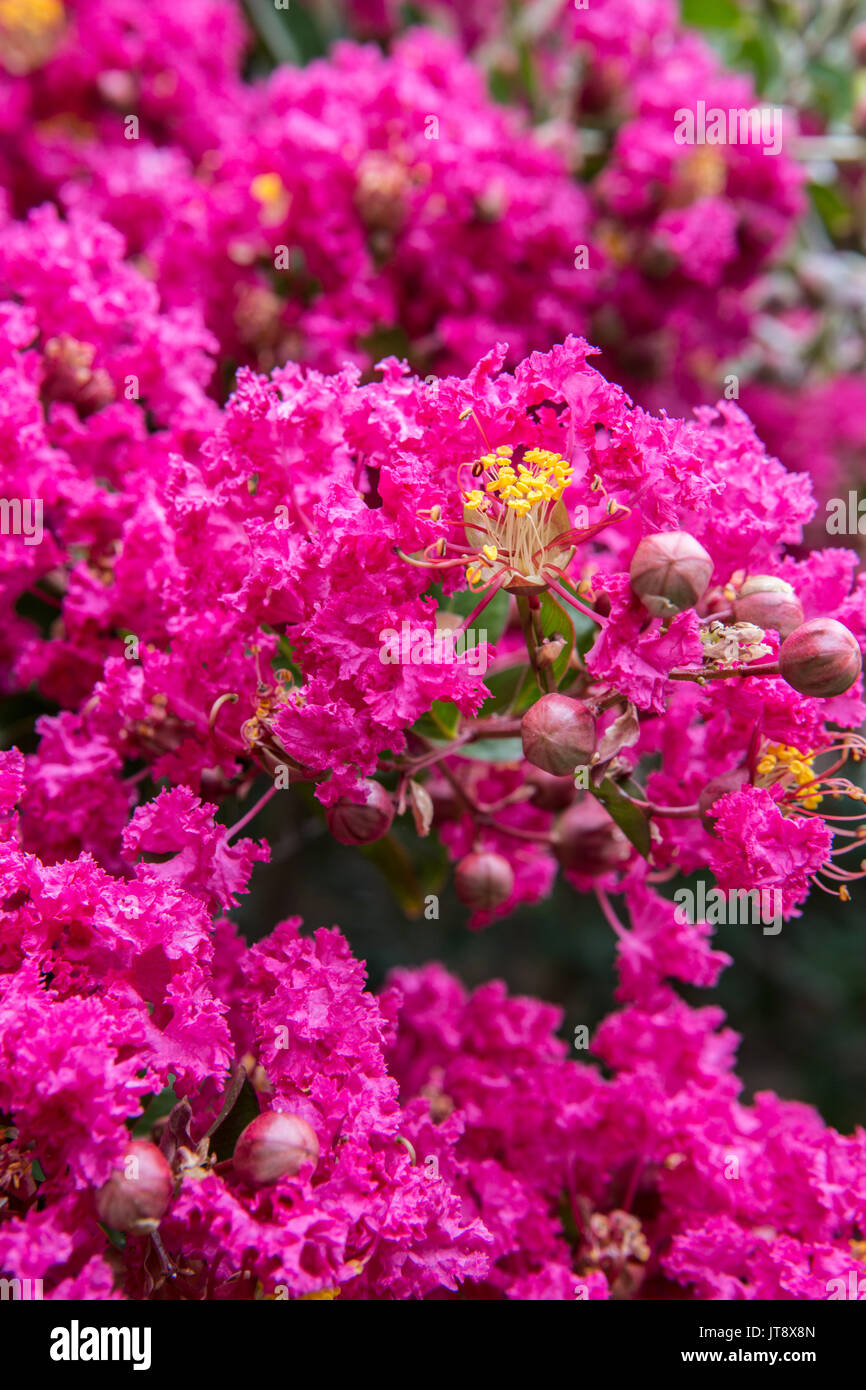 crepe myrtle tree growing in a garden in southern california usa stock