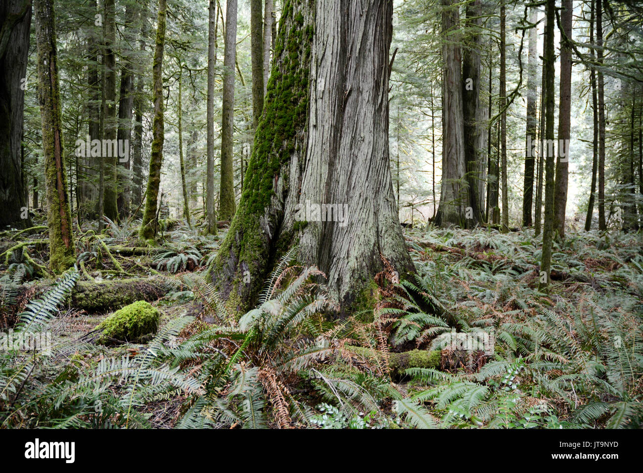 Red Cedar Forest ~ Cedar tree forest pixshark images galleries