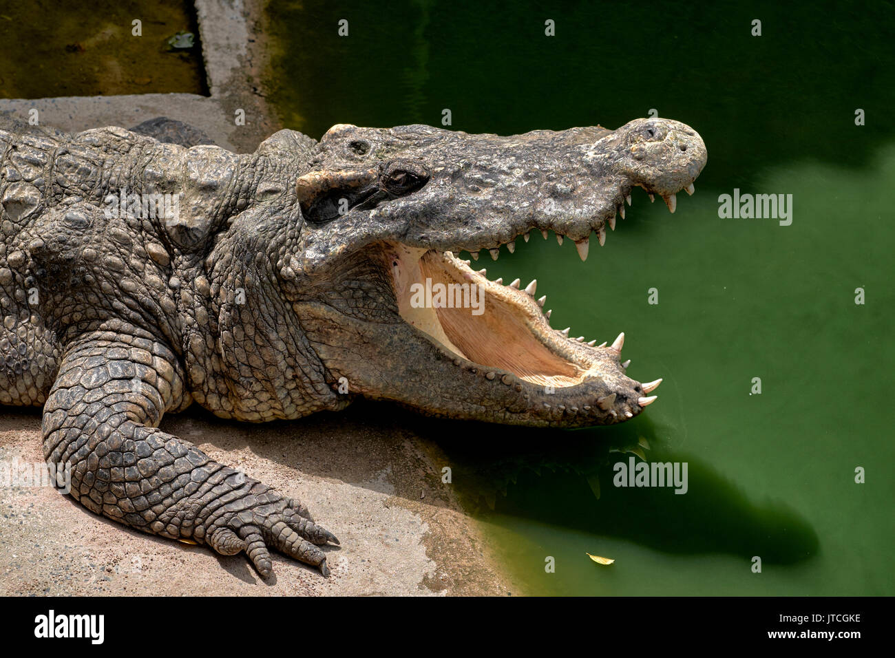 Huge crocodile open mouth