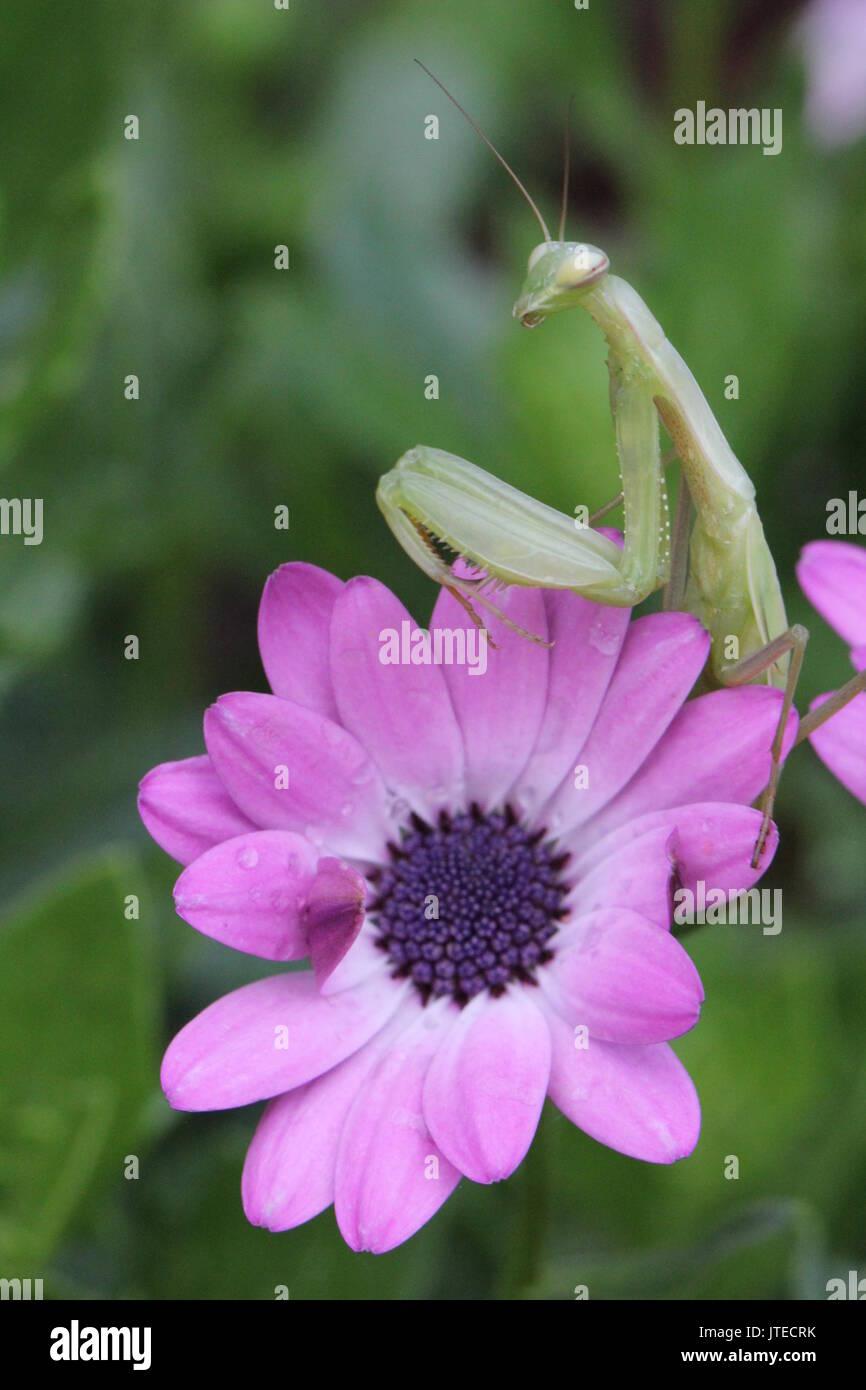 Praying Mantis On Pink Flower Stock Photo 152752087 Alamy
