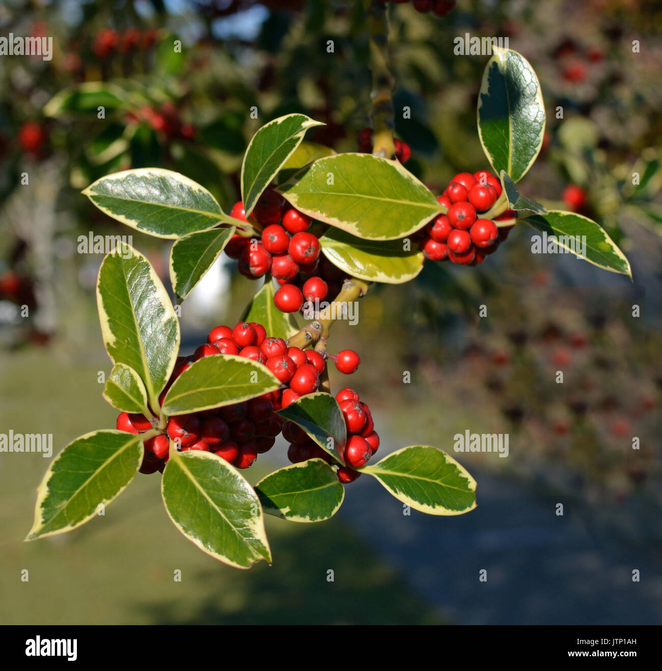 Good Christmas Holly Tree Part - 13: Closeup View Of Christmas Holly Tree With Clusters Of Red Berries And  Variegated Green Leaves And