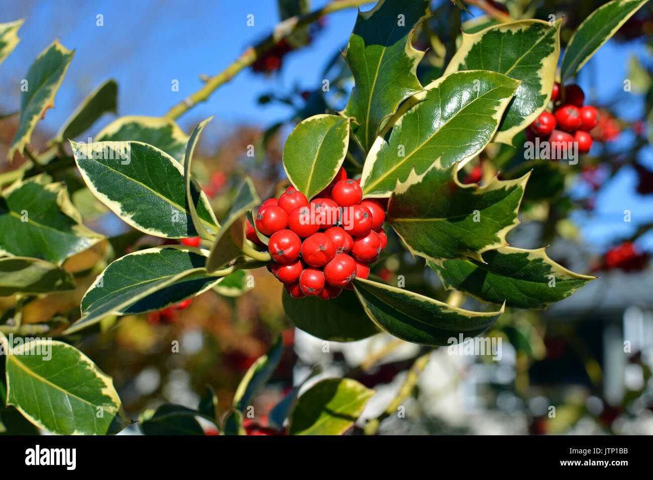Christmas Holly Tree Part - 20: Closeup View Of Christmas Holly Tree With Clusters Of Red Berries And  Variegated Green Leaves And