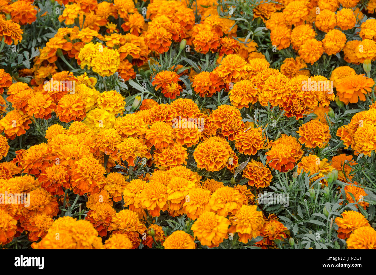 cempasuchil flower tagetes erecta mexican flower of the day of the