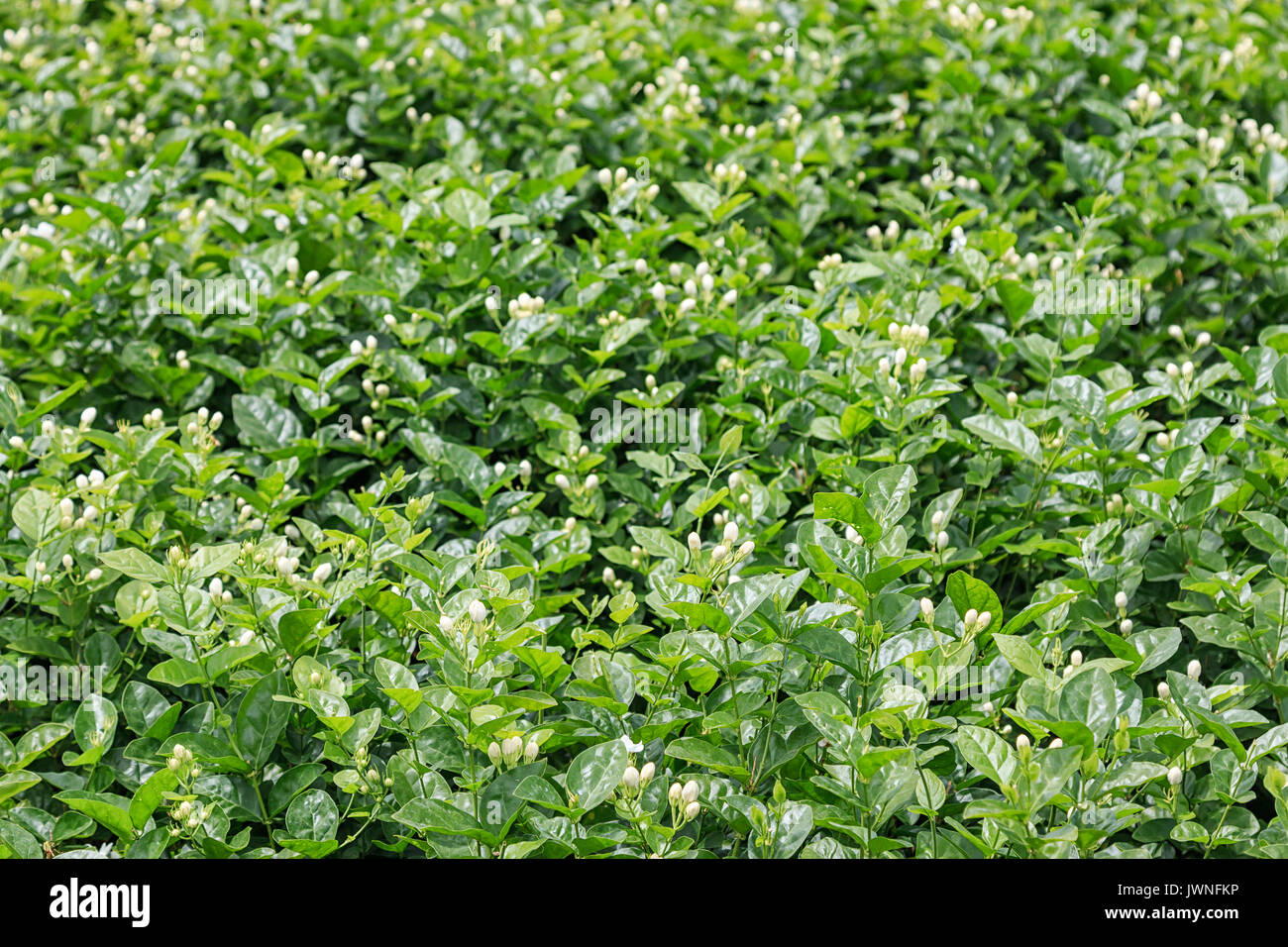 Close Up Of A Jasmine Plant In Hengxian The Chinese Capital Of